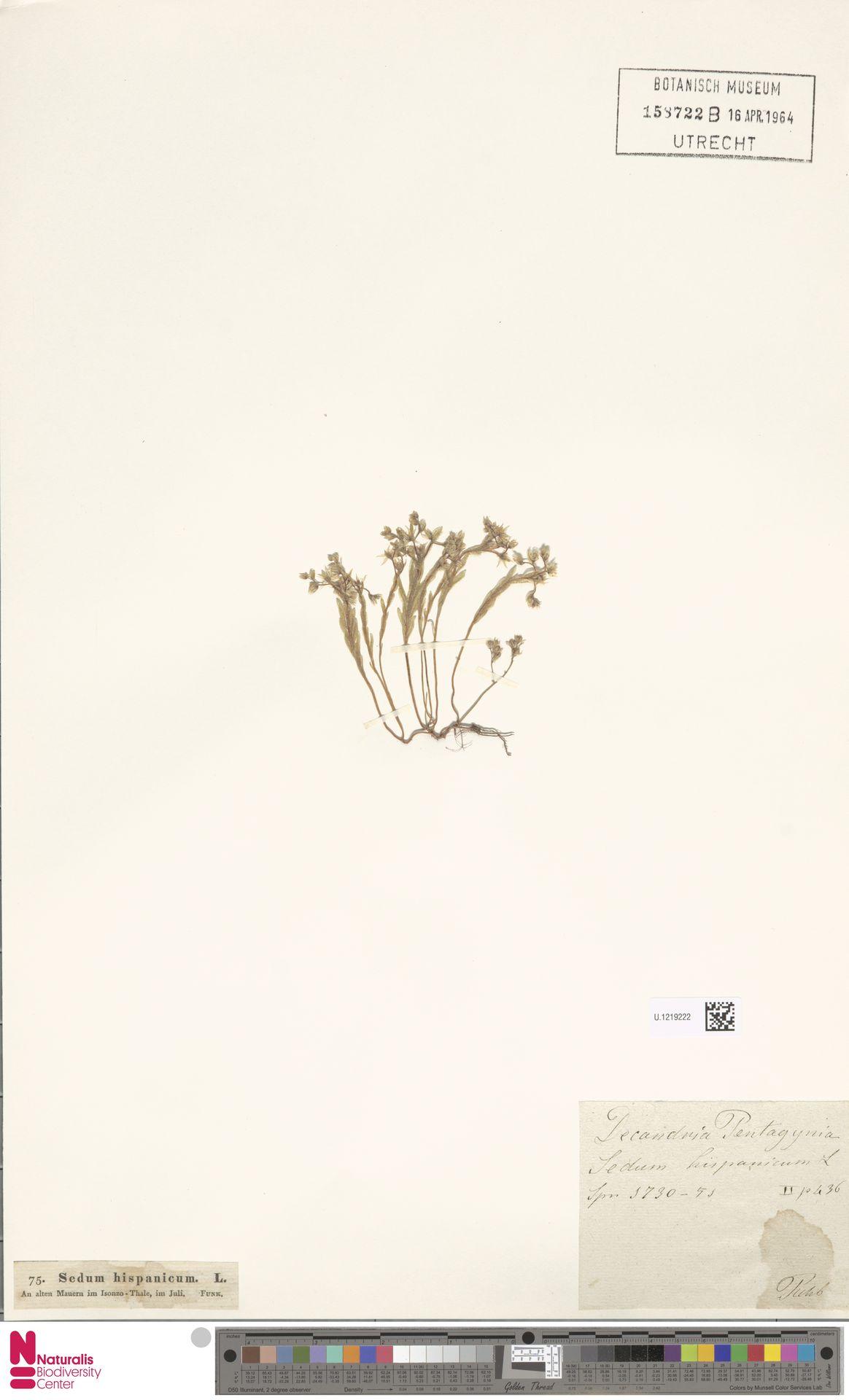 U.1219222 | Sedum hispanicum L.