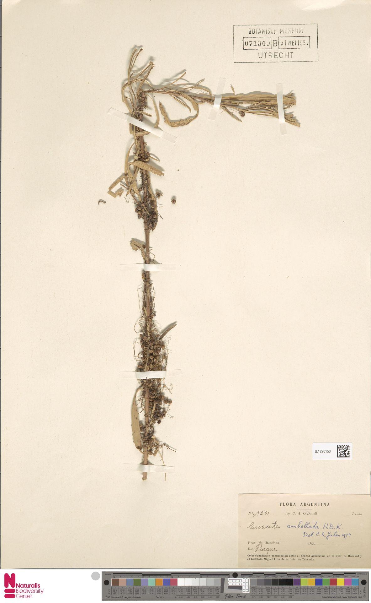 U.1220153 | Cuscuta umbellata Humb., Bonpl. & Kunth