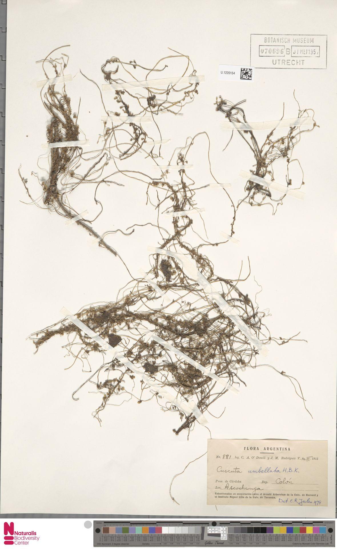 U.1220154 | Cuscuta umbellata Humb., Bonpl. & Kunth