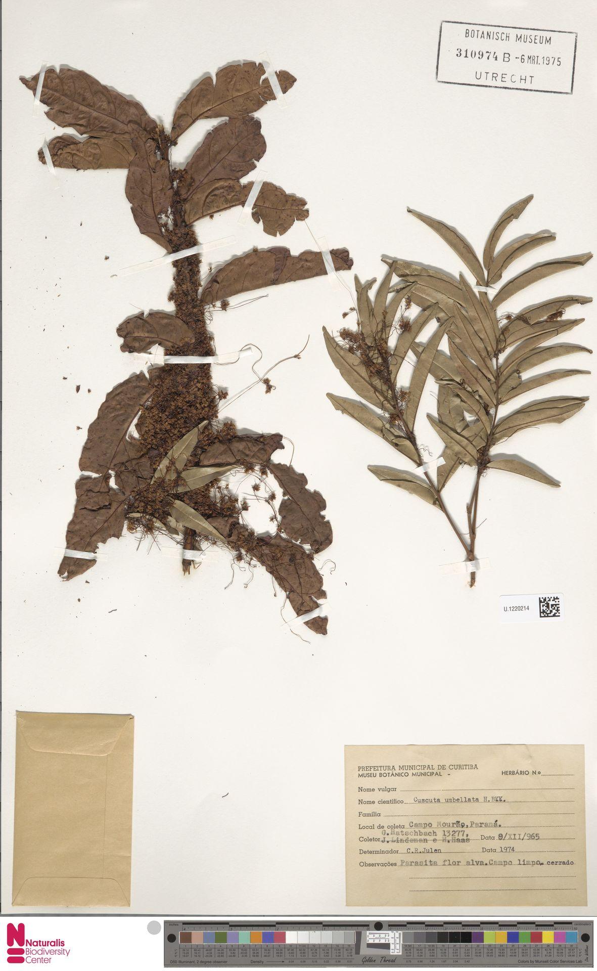U.1220214 | Cuscuta umbellata Humb., Bonpl. & Kunth