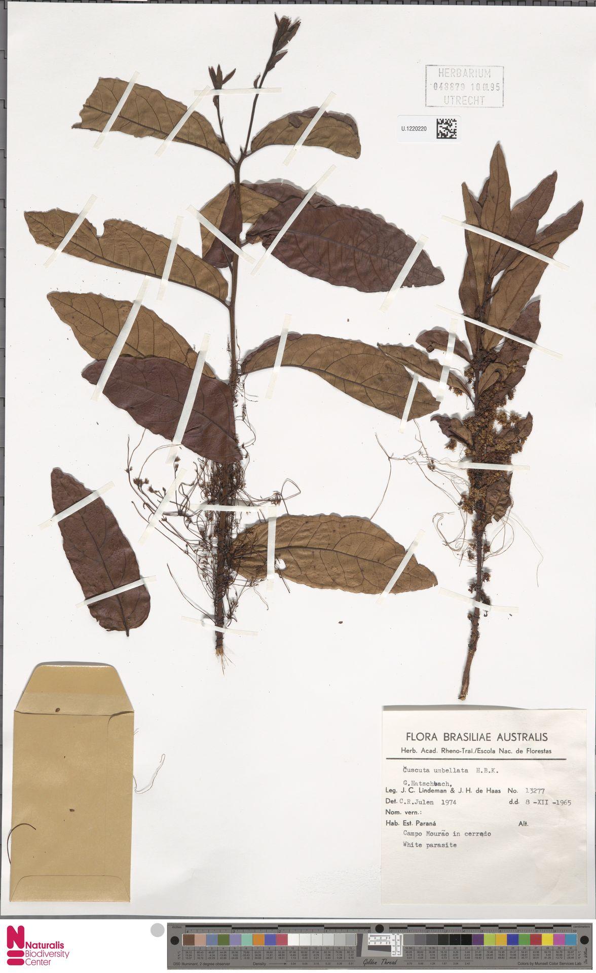 U.1220220 | Cuscuta umbellata Humb., Bonpl. & Kunth