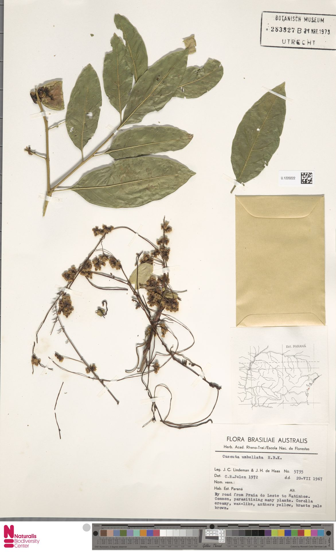 U.1220222 | Cuscuta umbellata Humb., Bonpl. & Kunth