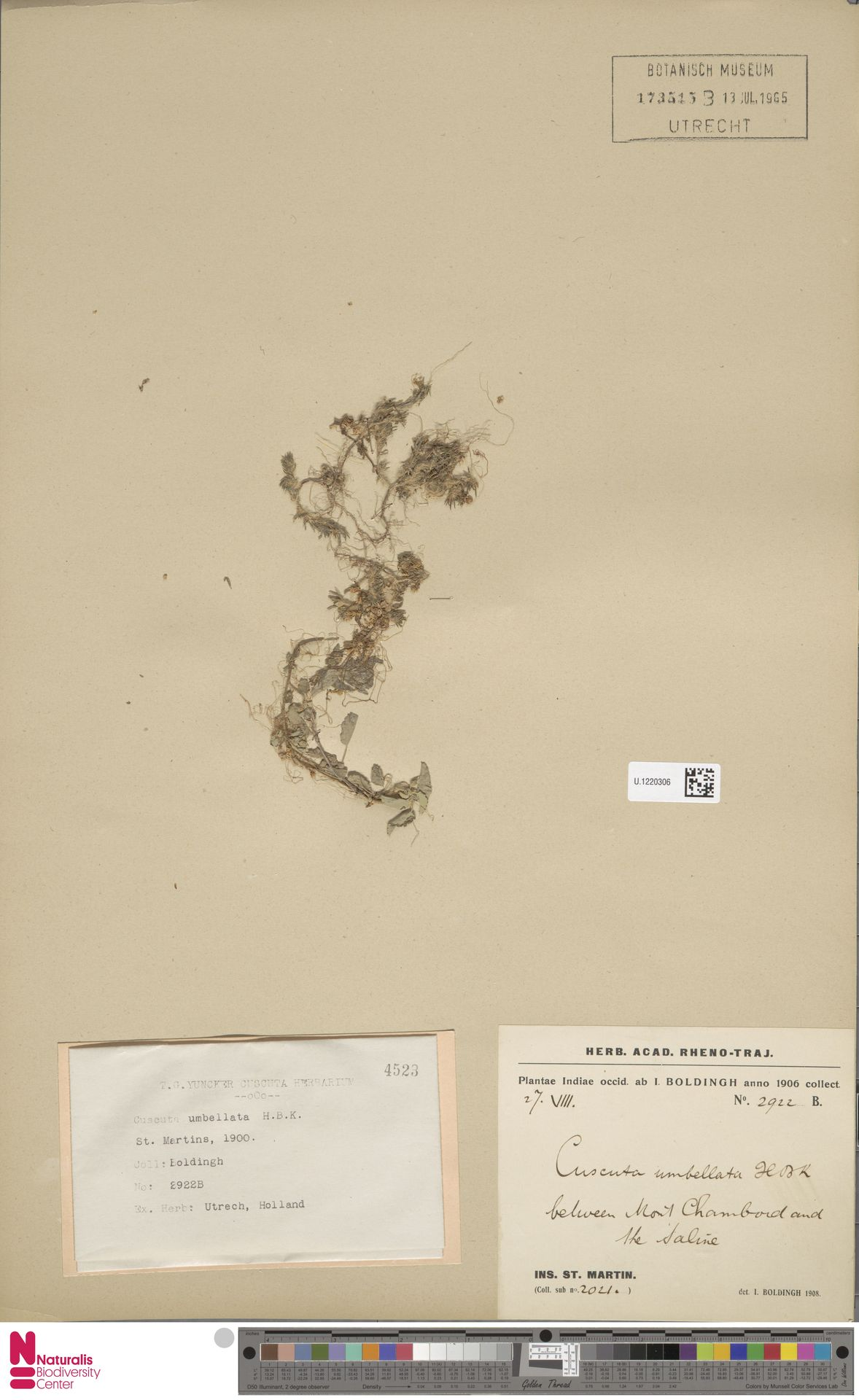 U.1220306 | Cuscuta umbellata Humb., Bonpl. & Kunth