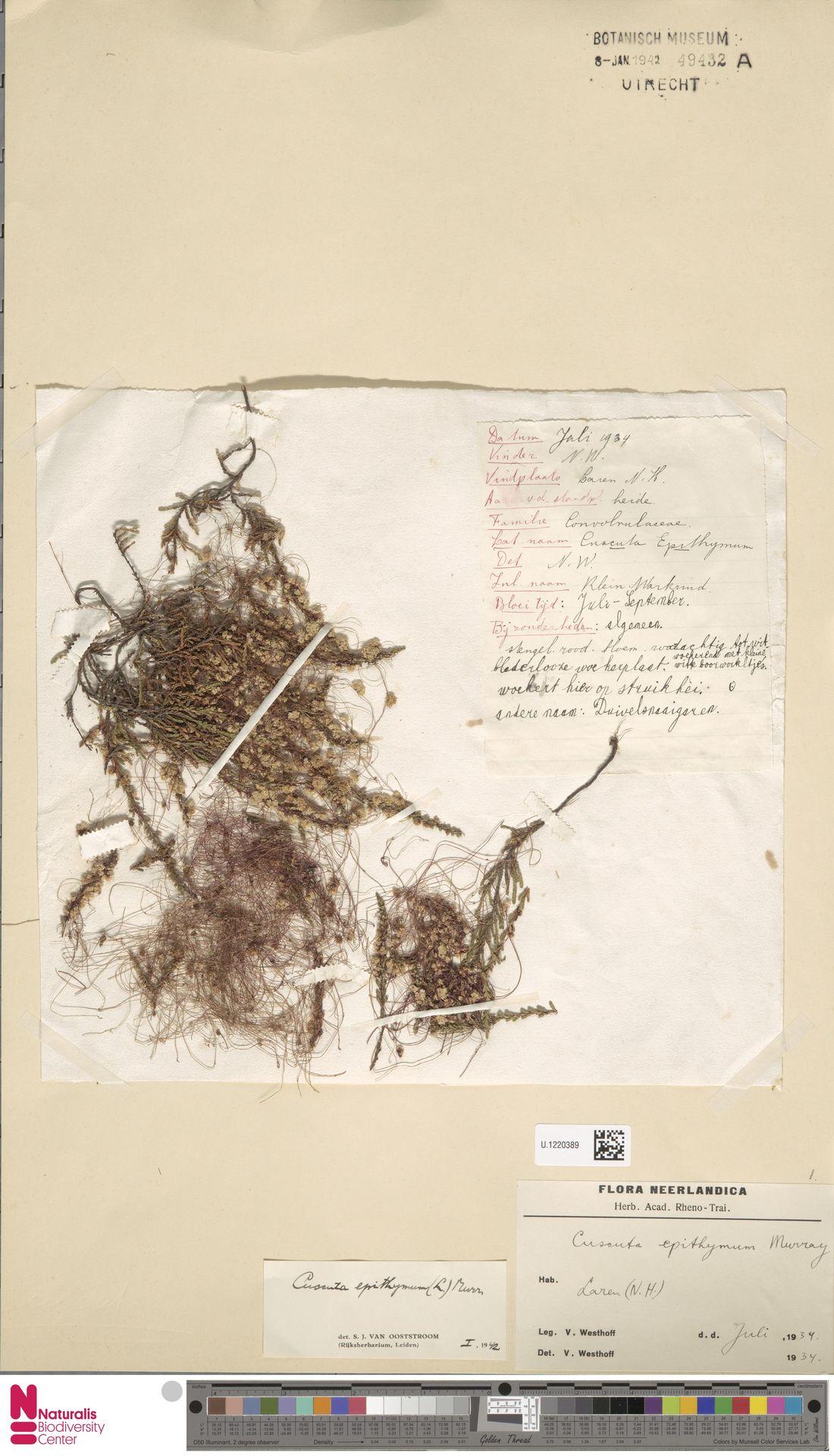 U.1220389   Cuscuta epithymum (L.) L.