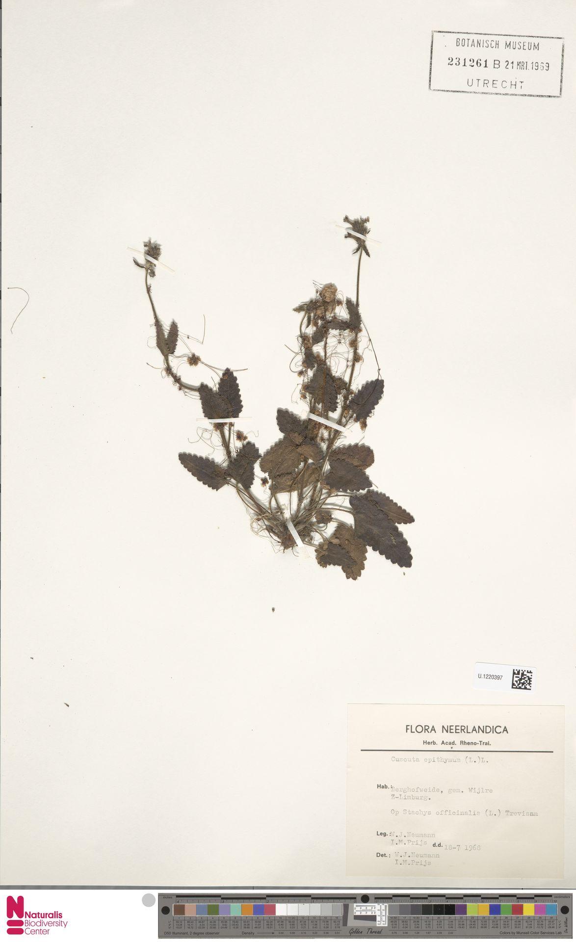U.1220397   Cuscuta epithymum (L.) L.