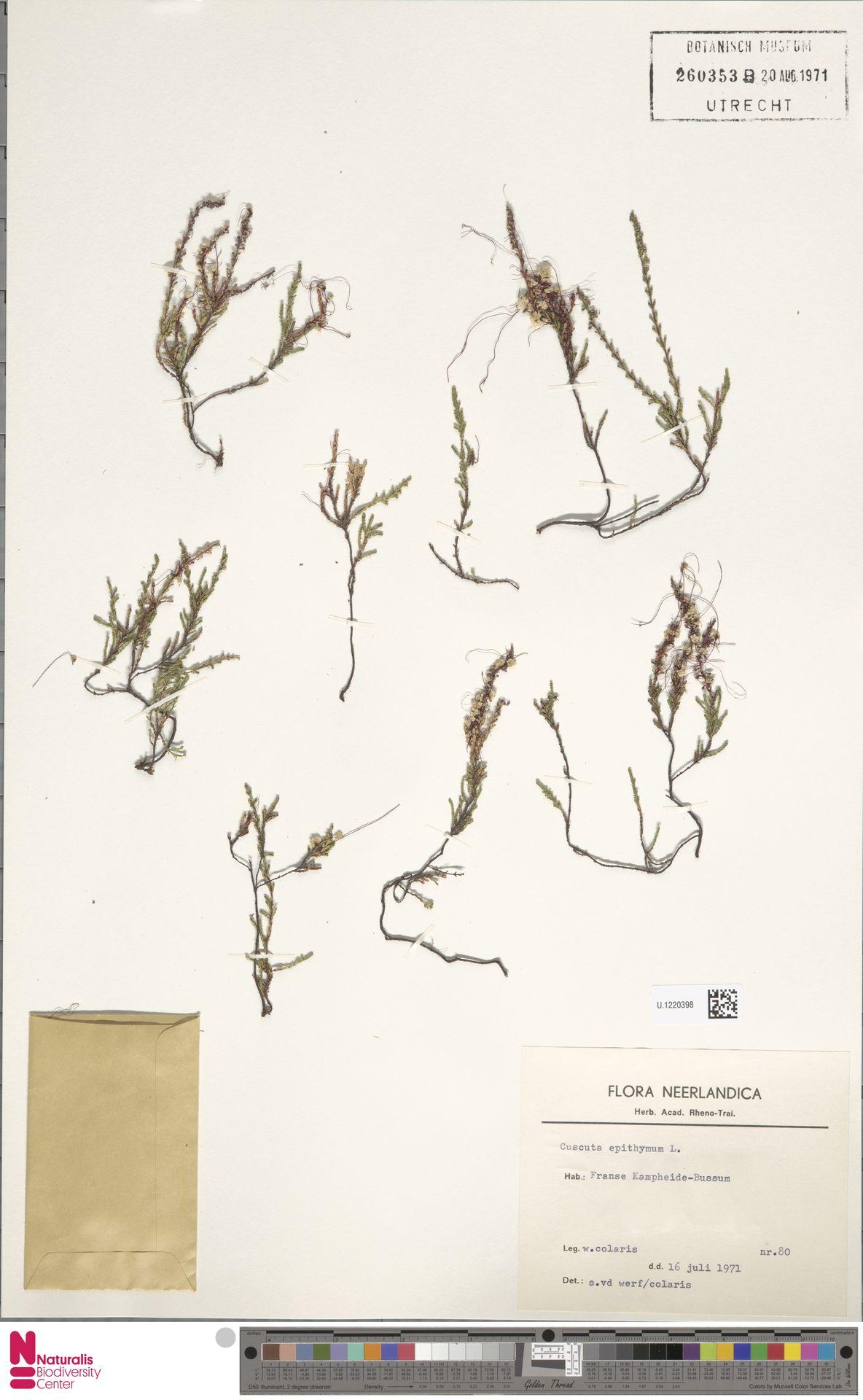 U.1220398   Cuscuta epithymum (L.) L.
