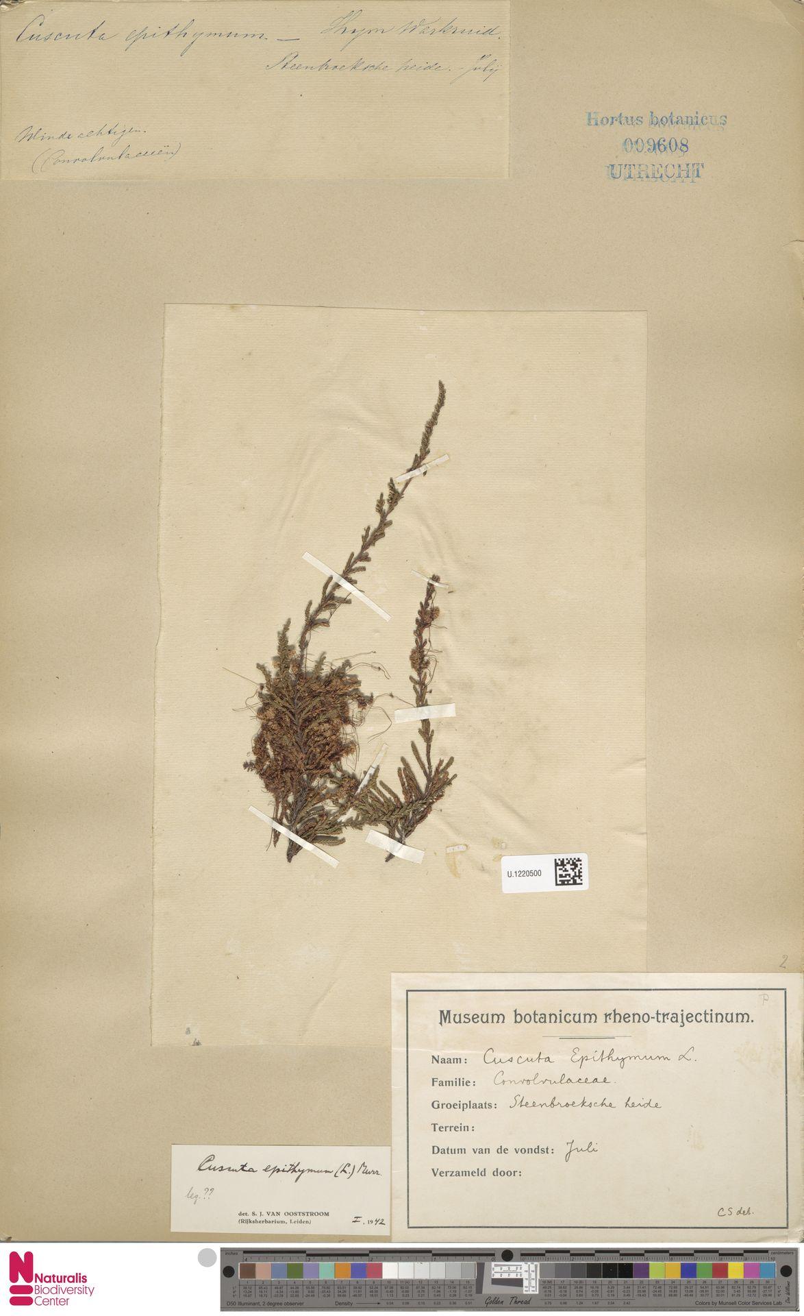 U.1220500   Cuscuta epithymum (L.) L.