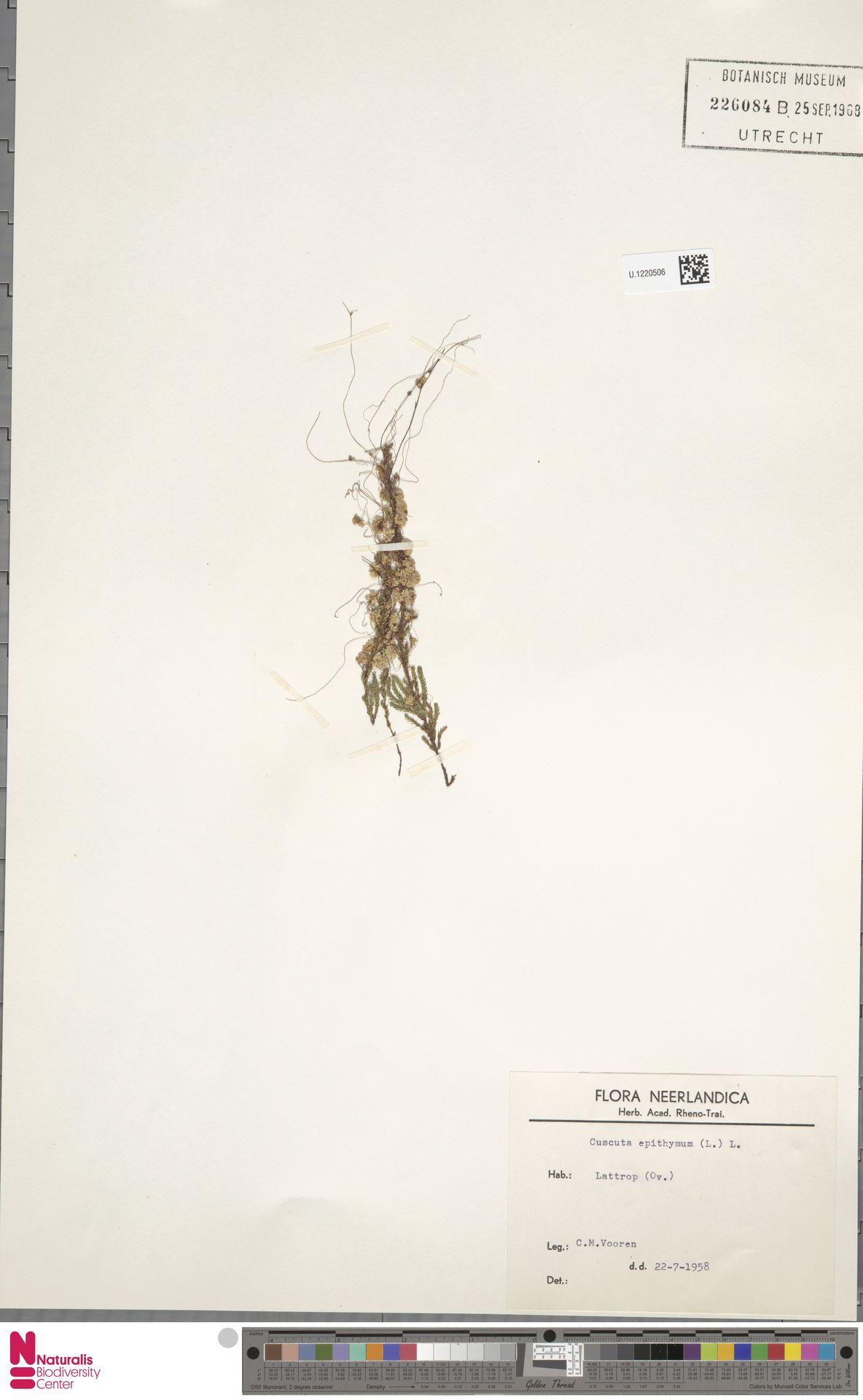U.1220506 | Cuscuta epithymum (L.) L.