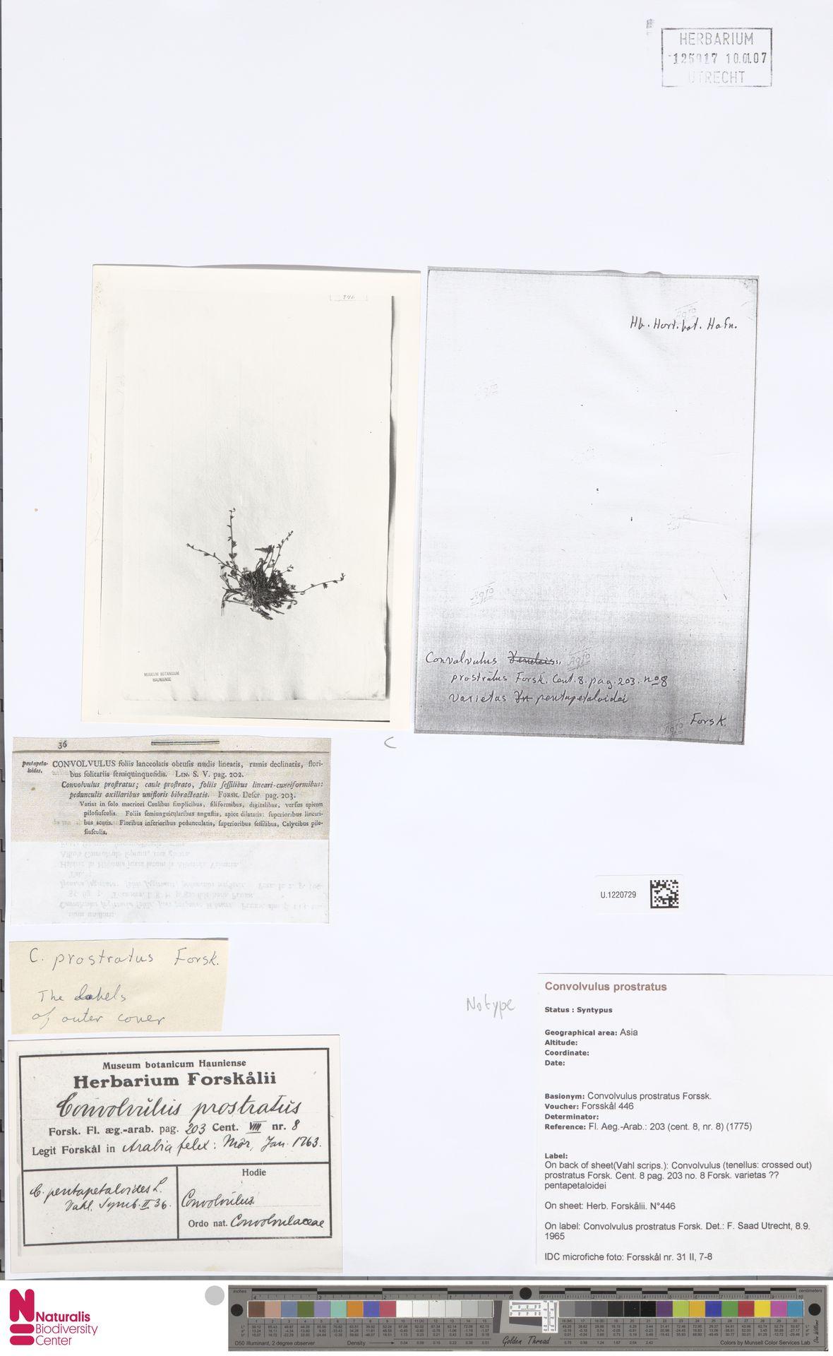U.1220729 | Convolvulus prostratus Forssk.