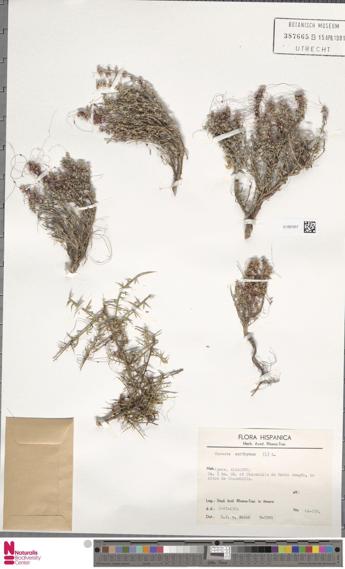 U.1221317 | Cuscuta epithymum (L.) L.