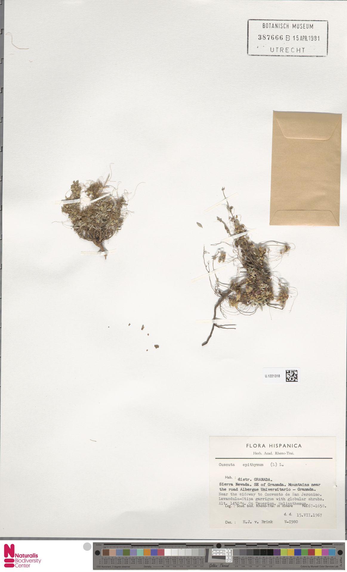 U.1221318 | Cuscuta epithymum (L.) L.