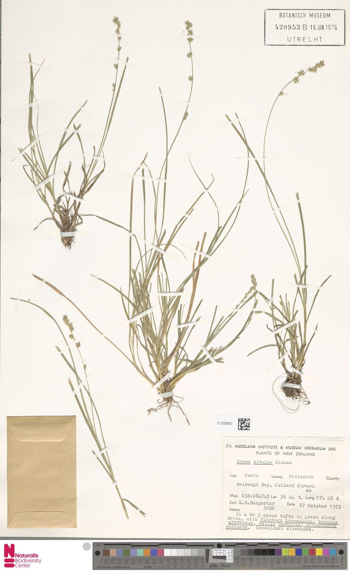 U.1225912 | Carex divulsa Stokes
