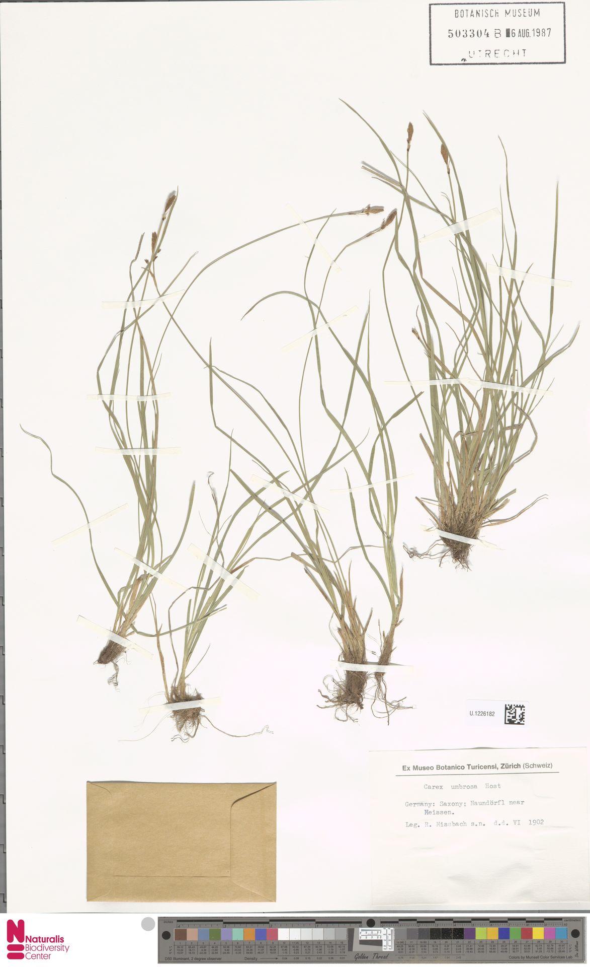 U.1226182   Carex umbrosa Host