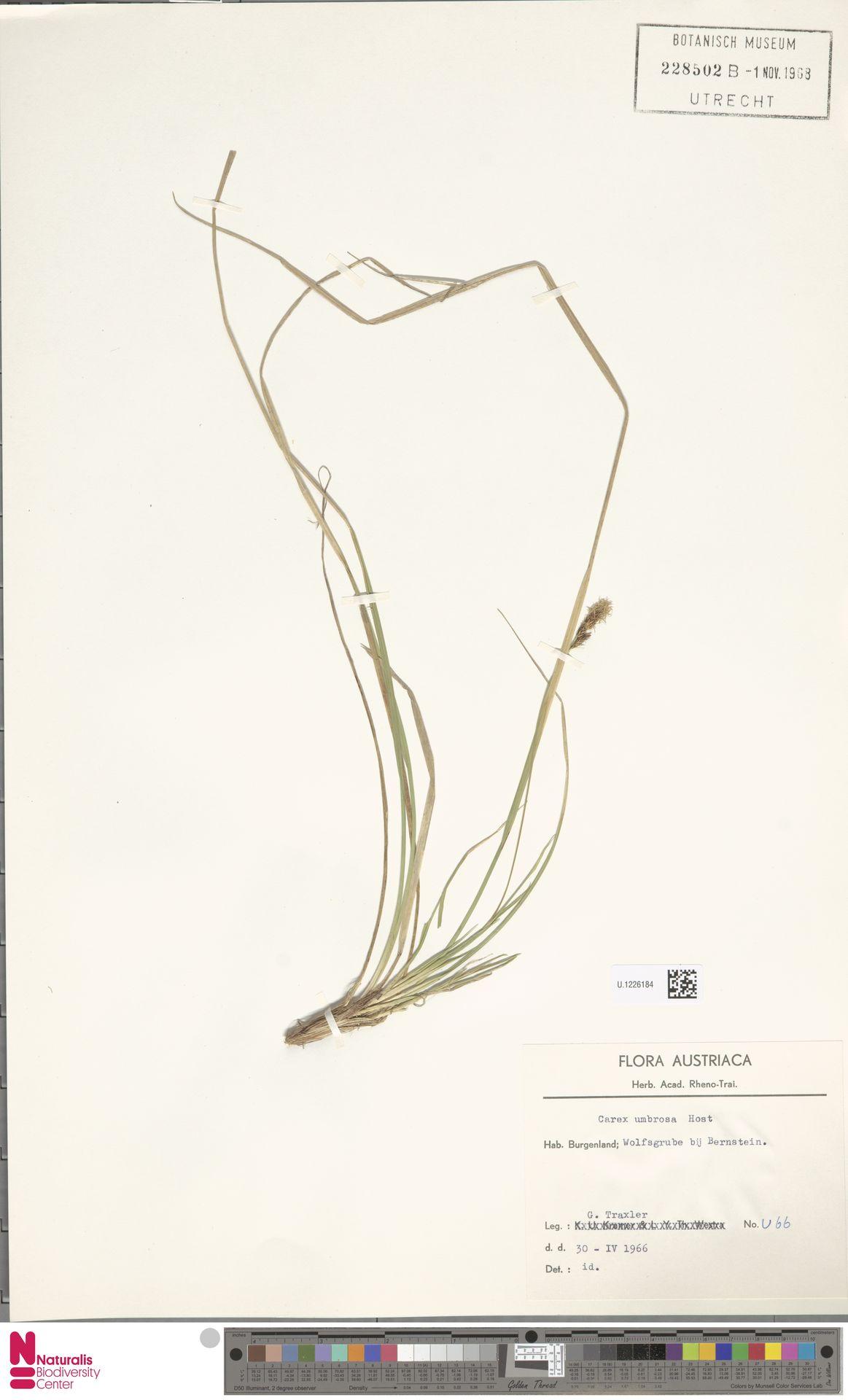 U.1226184 | Carex umbrosa Host