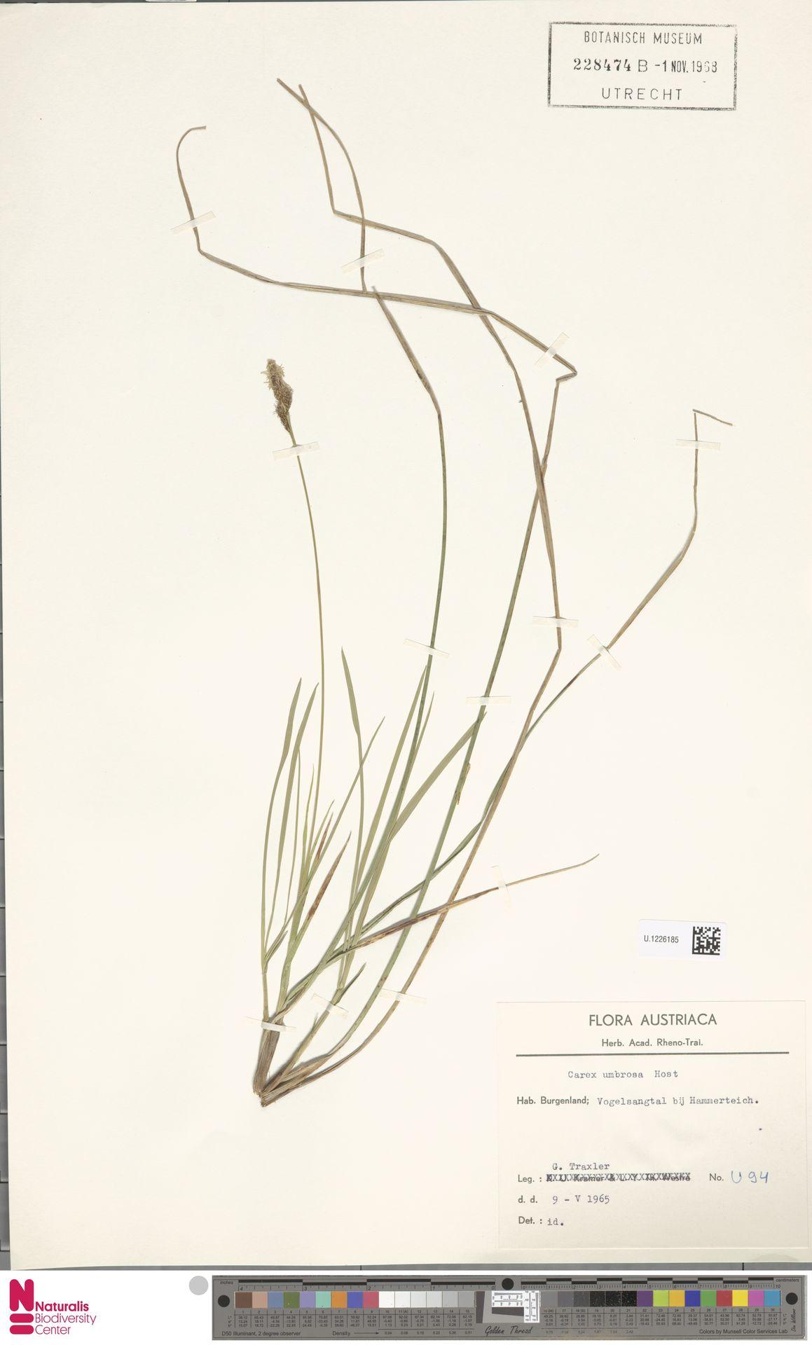 U.1226185   Carex umbrosa Host