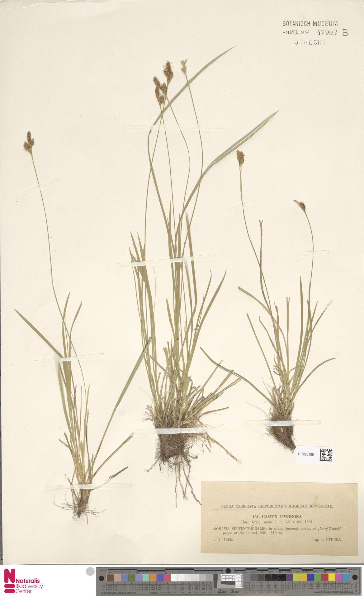 U.1226186 | Carex umbrosa Host