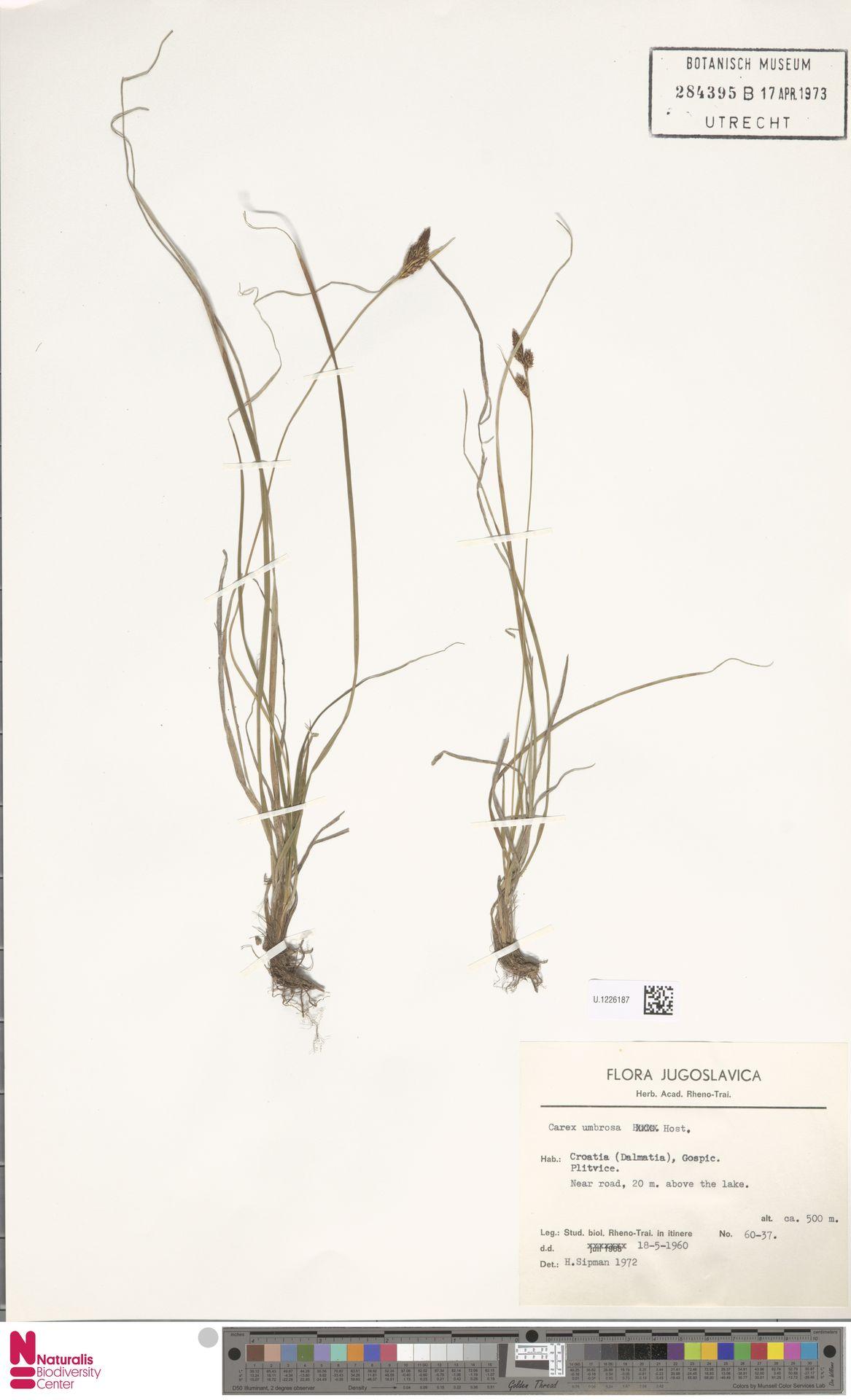 U.1226187 | Carex umbrosa Host