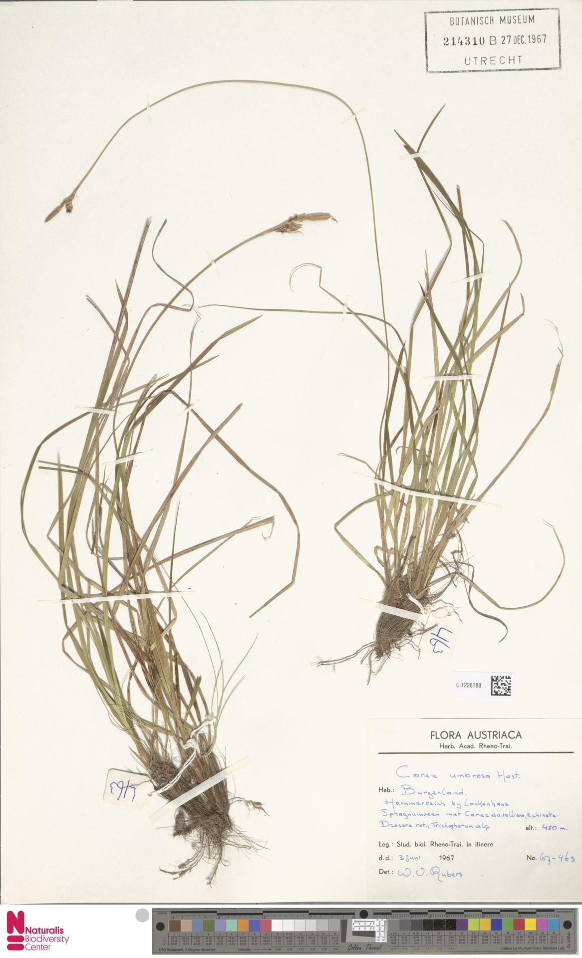 U.1226188   Carex umbrosa Host