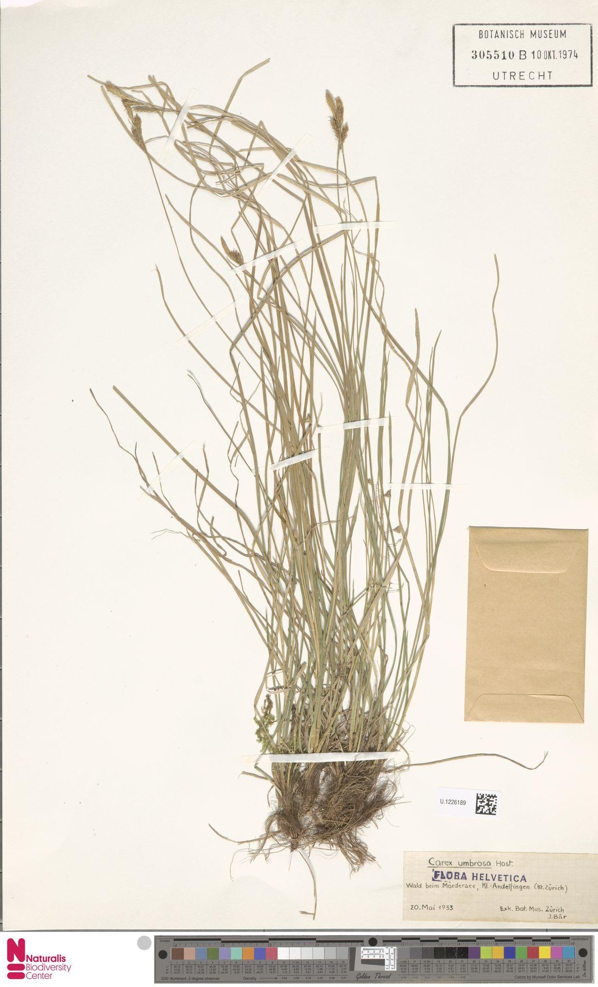 U.1226189 | Carex umbrosa Host