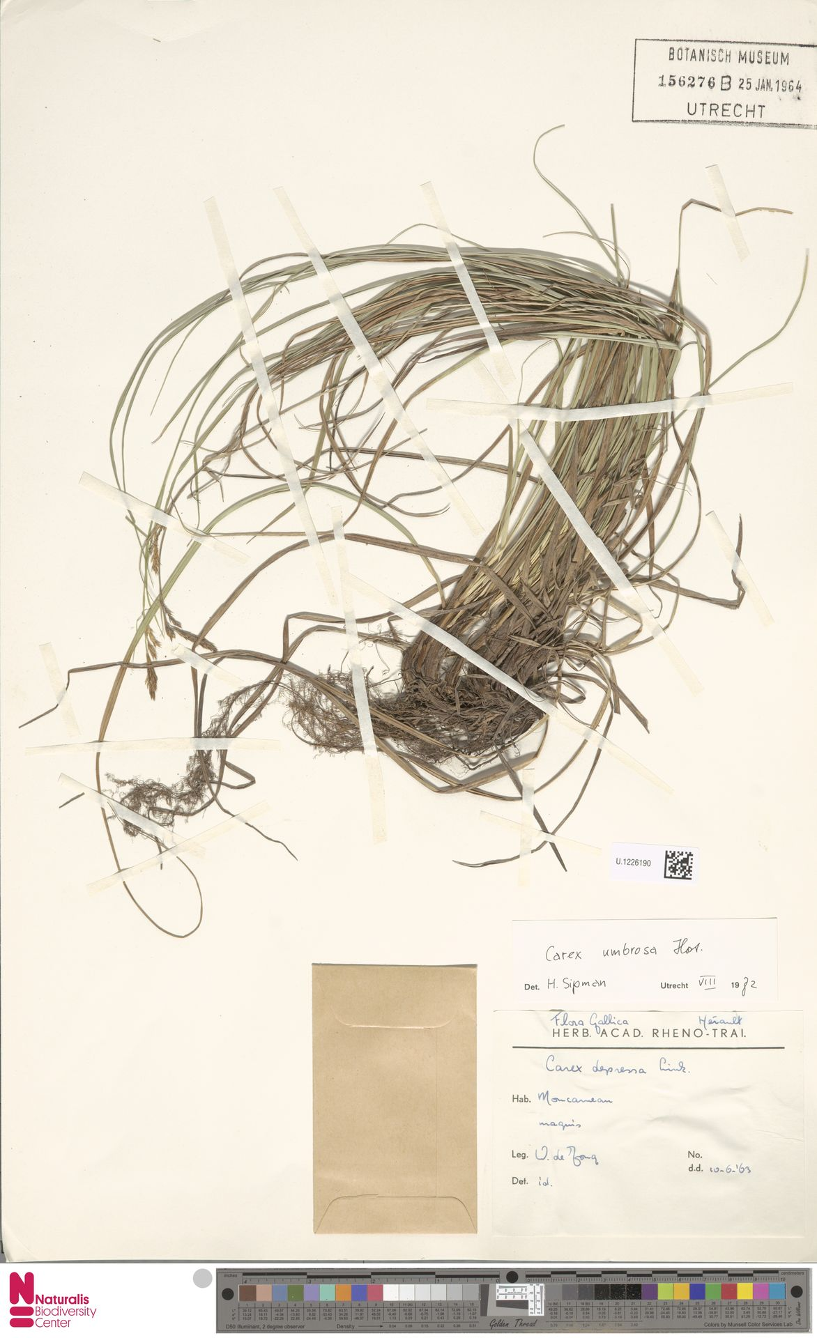 U.1226190 | Carex umbrosa Host