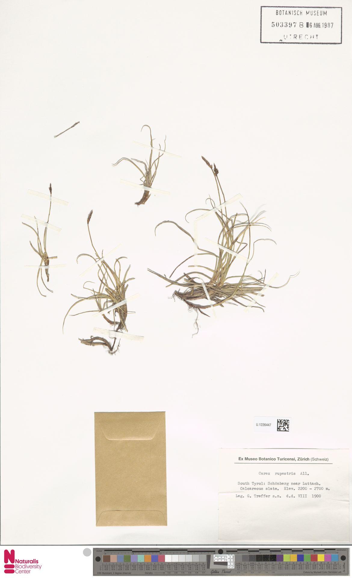 U.1226447 | Carex rupestris All.