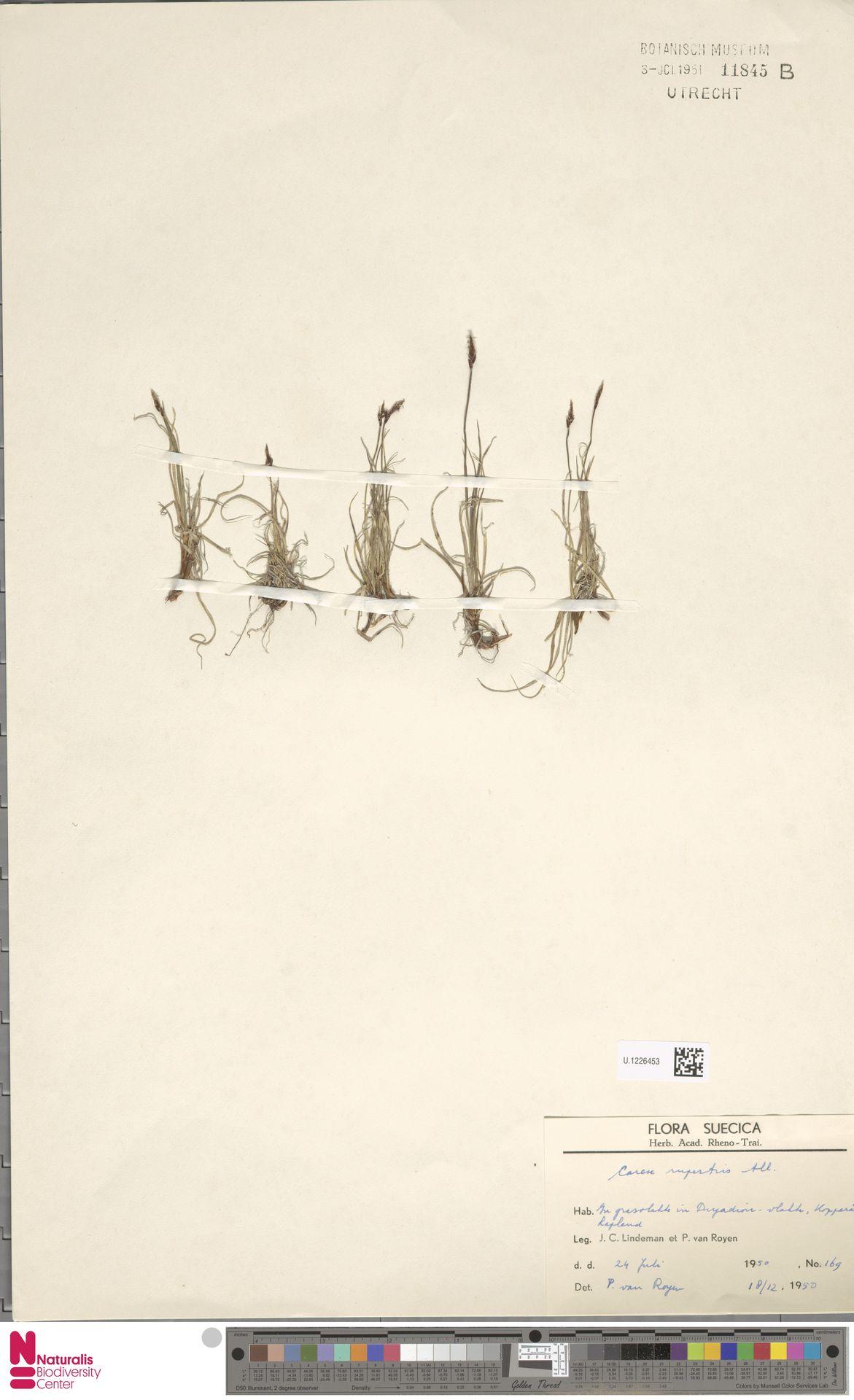 U.1226453 | Carex rupestris All.