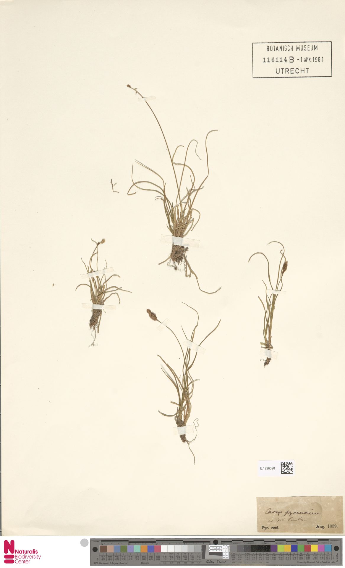 U.1226598 | Carex pyrenaica Wahlenb.