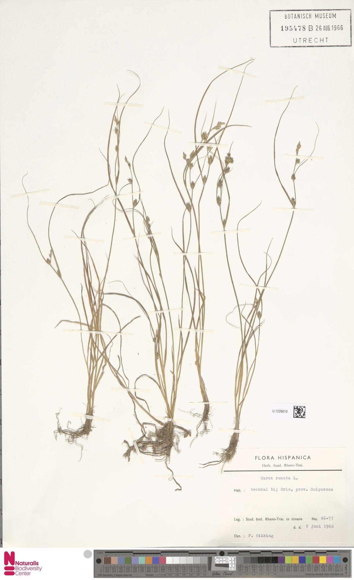 U.1226610   Carex remota L.