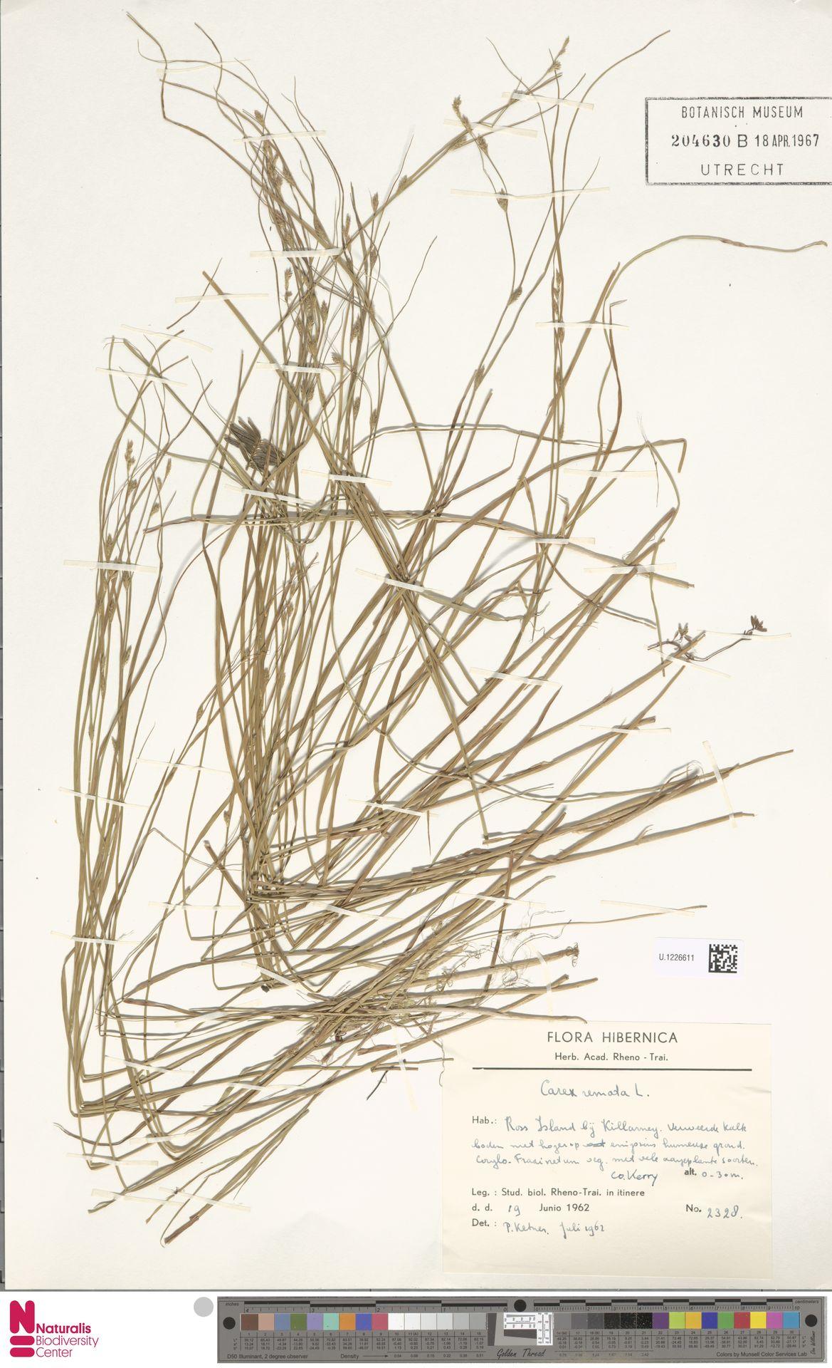 U.1226611 | Carex remota L.