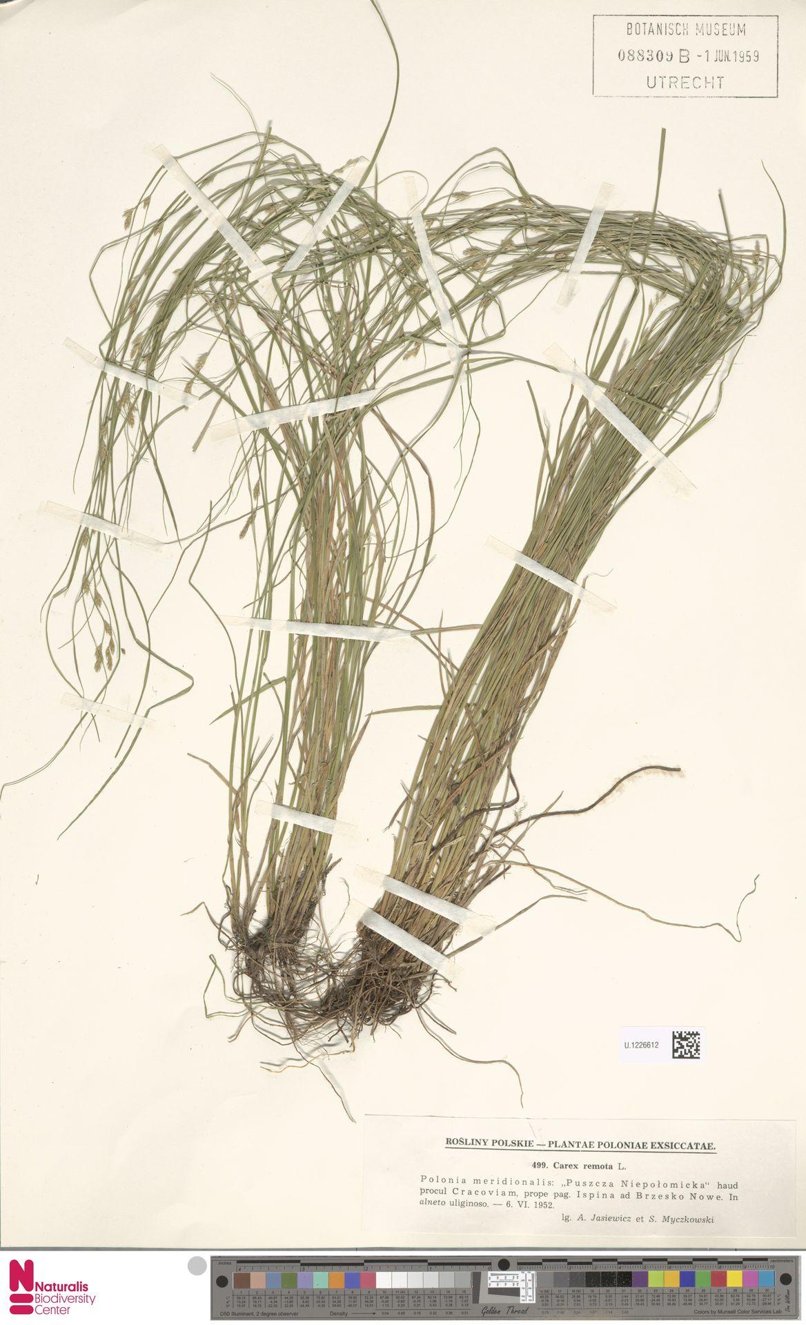 U.1226612 | Carex remota L.