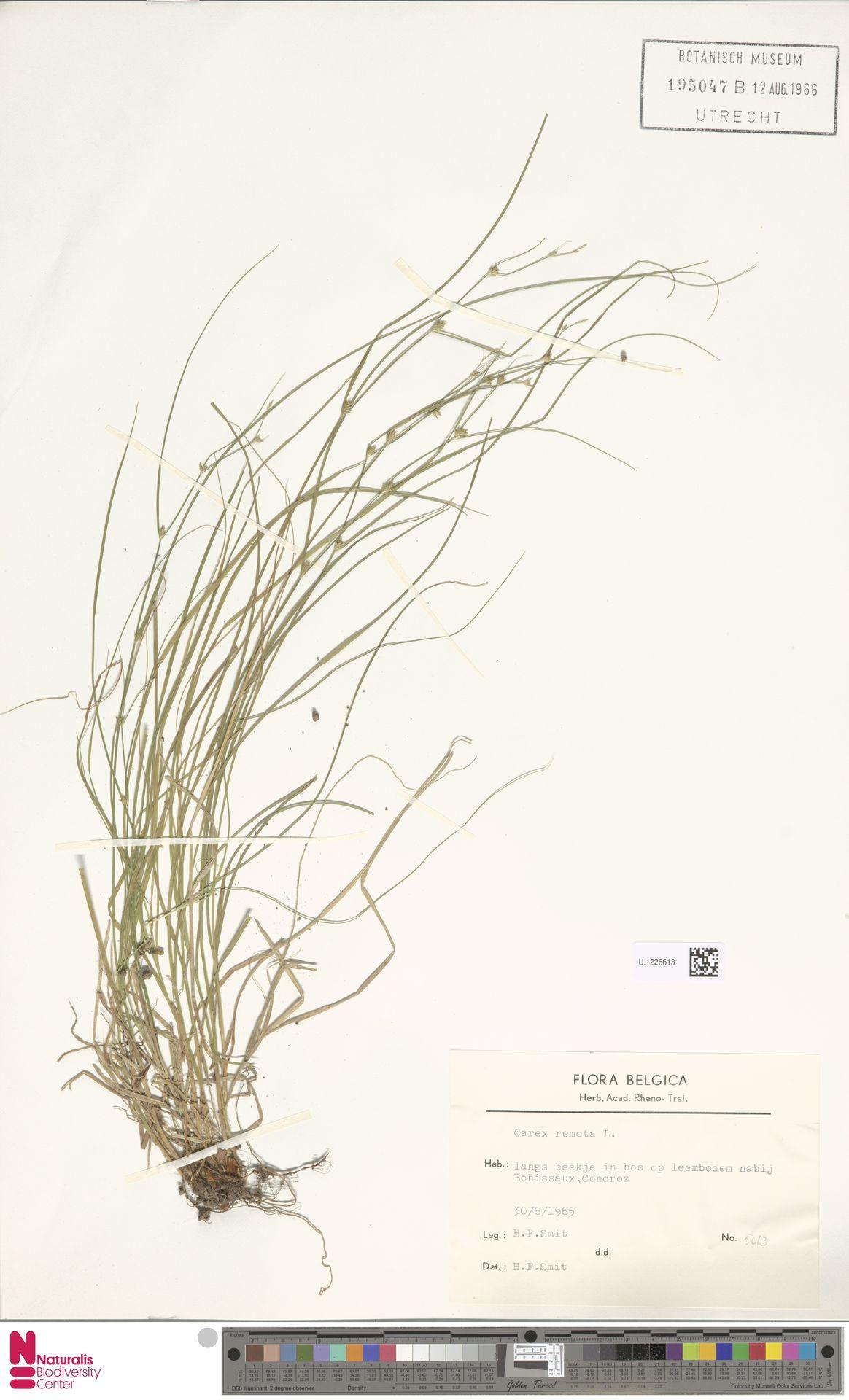 U.1226613 | Carex remota L.
