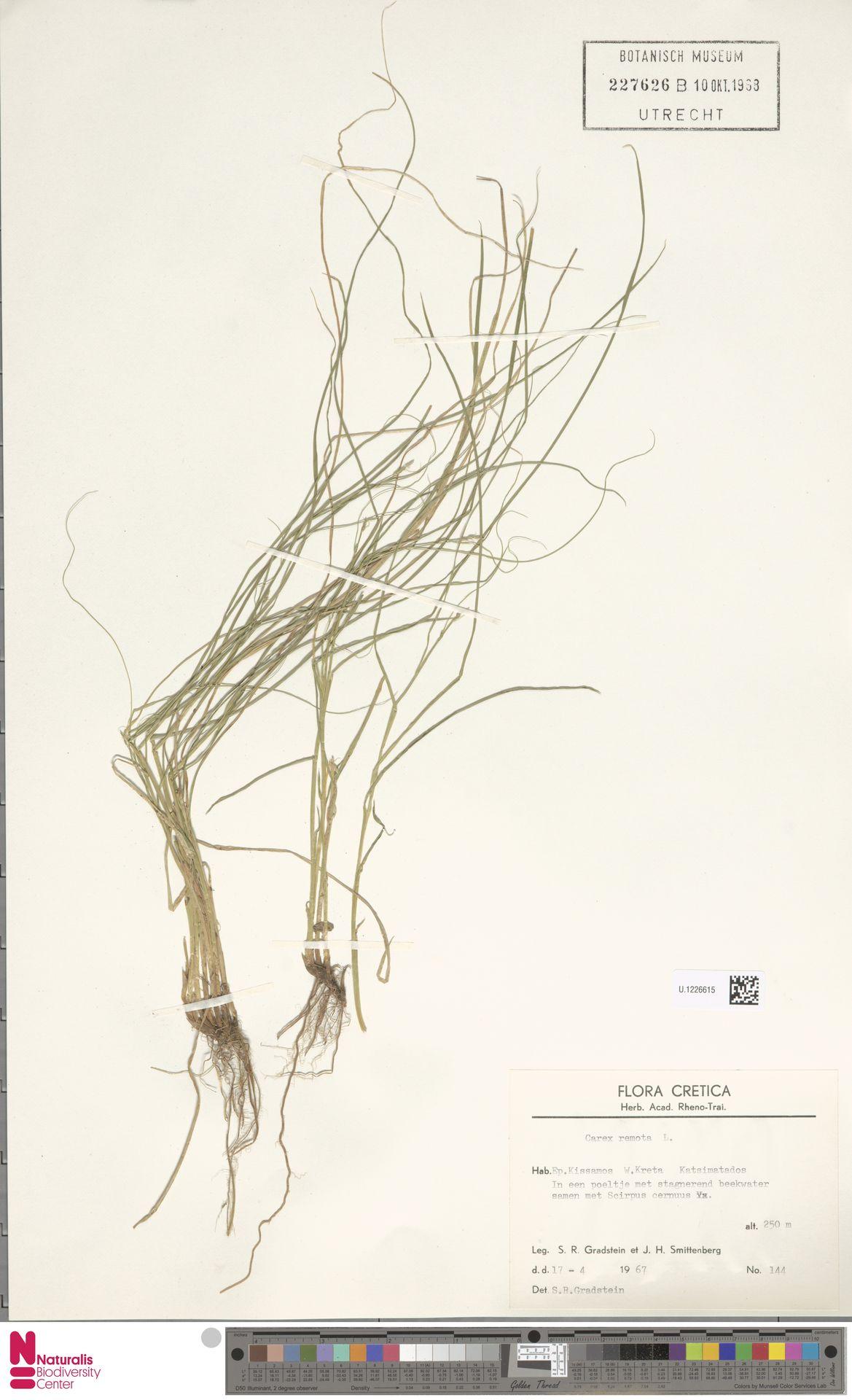 U.1226615 | Carex remota L.