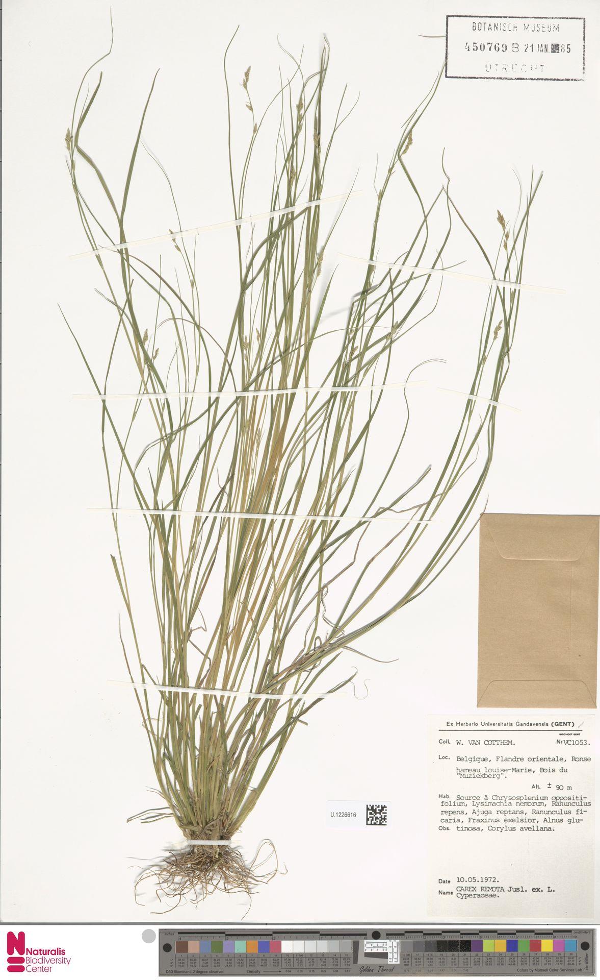 U.1226616 | Carex remota L.