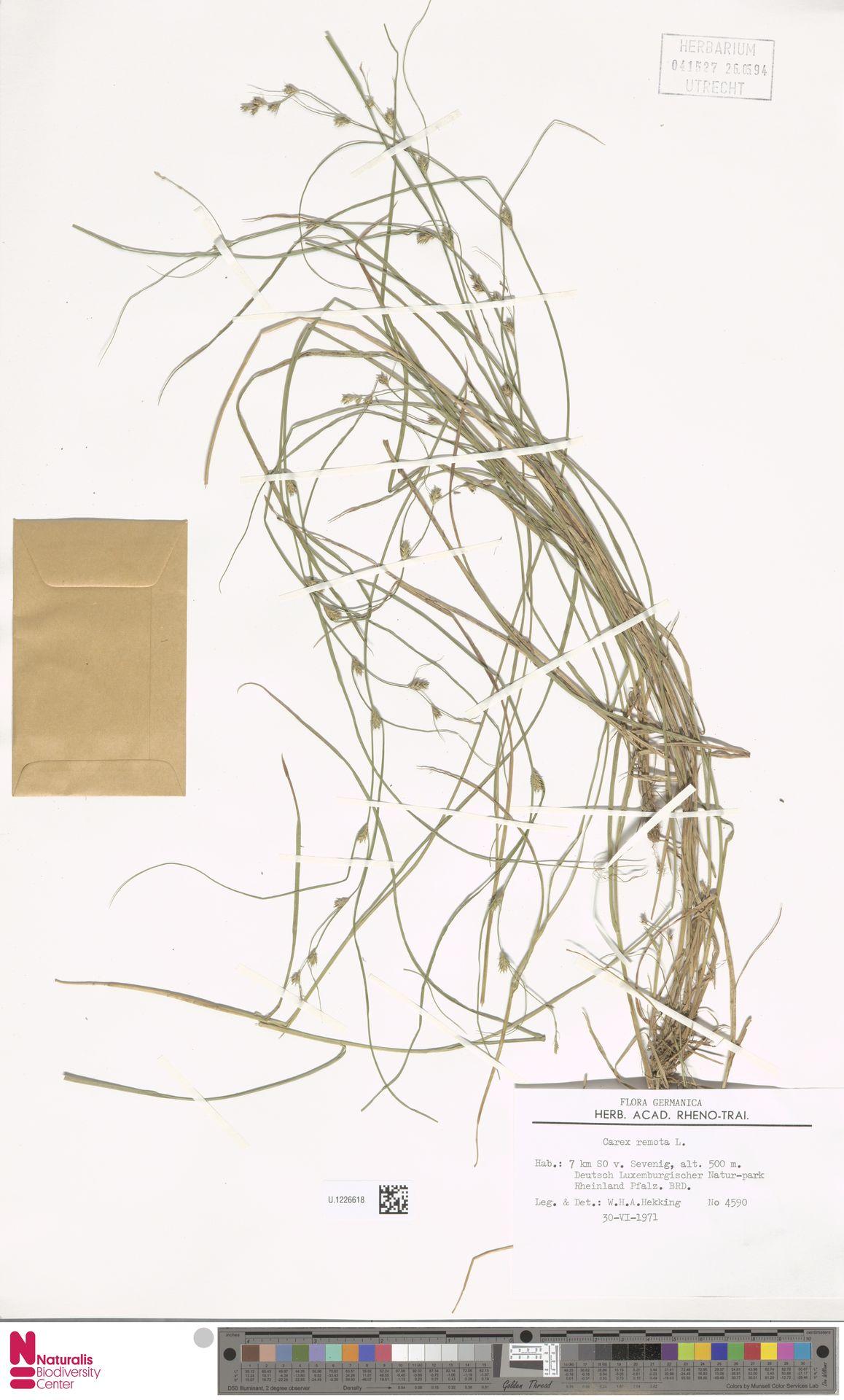 U.1226618 | Carex remota L.