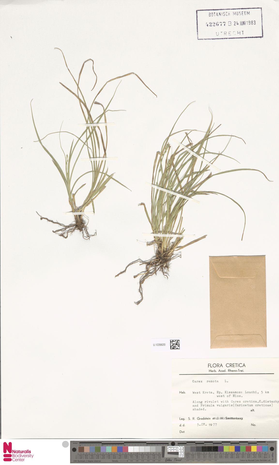 U.1226620 | Carex remota L.
