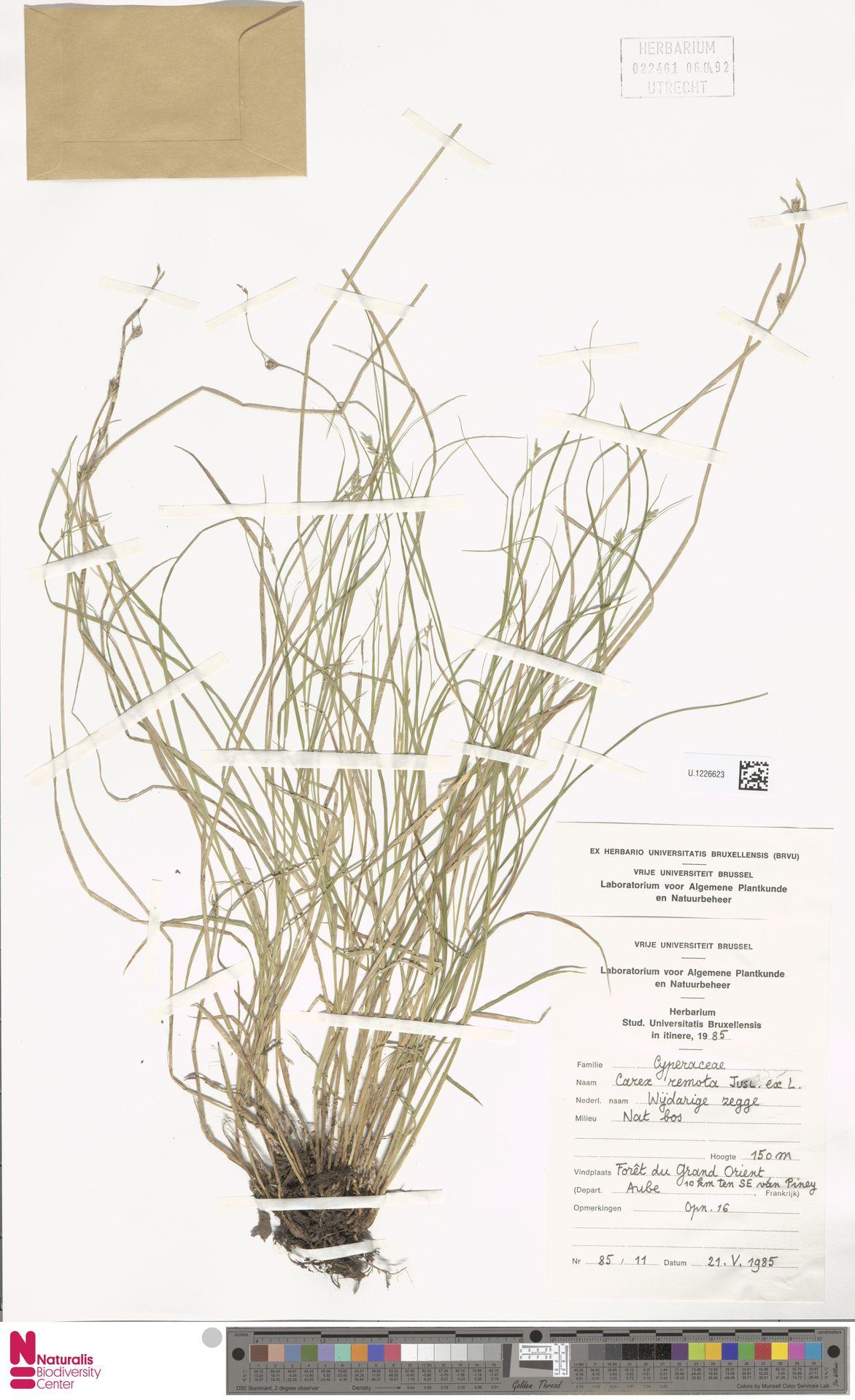 U.1226623 | Carex remota L.