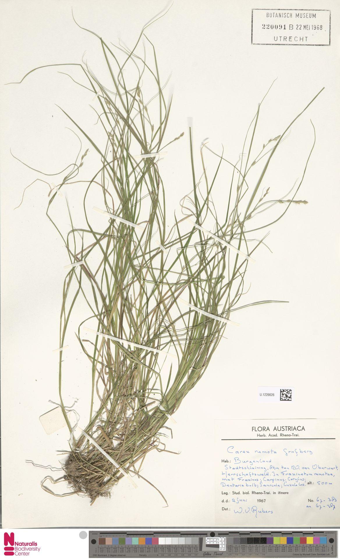 U.1226626 | Carex remota L.