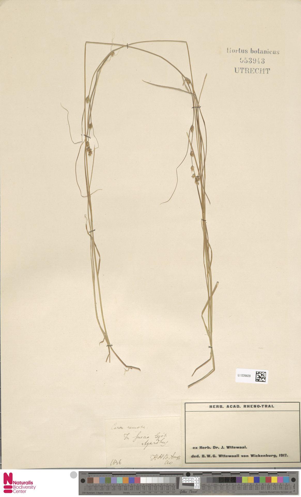 U.1226628 | Carex remota L.