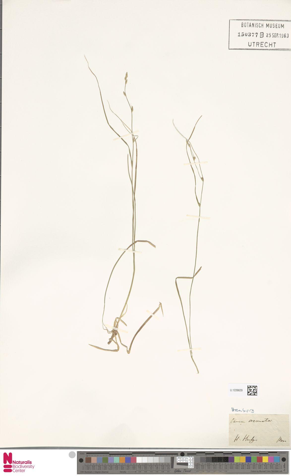 U.1226629 | Carex remota L.