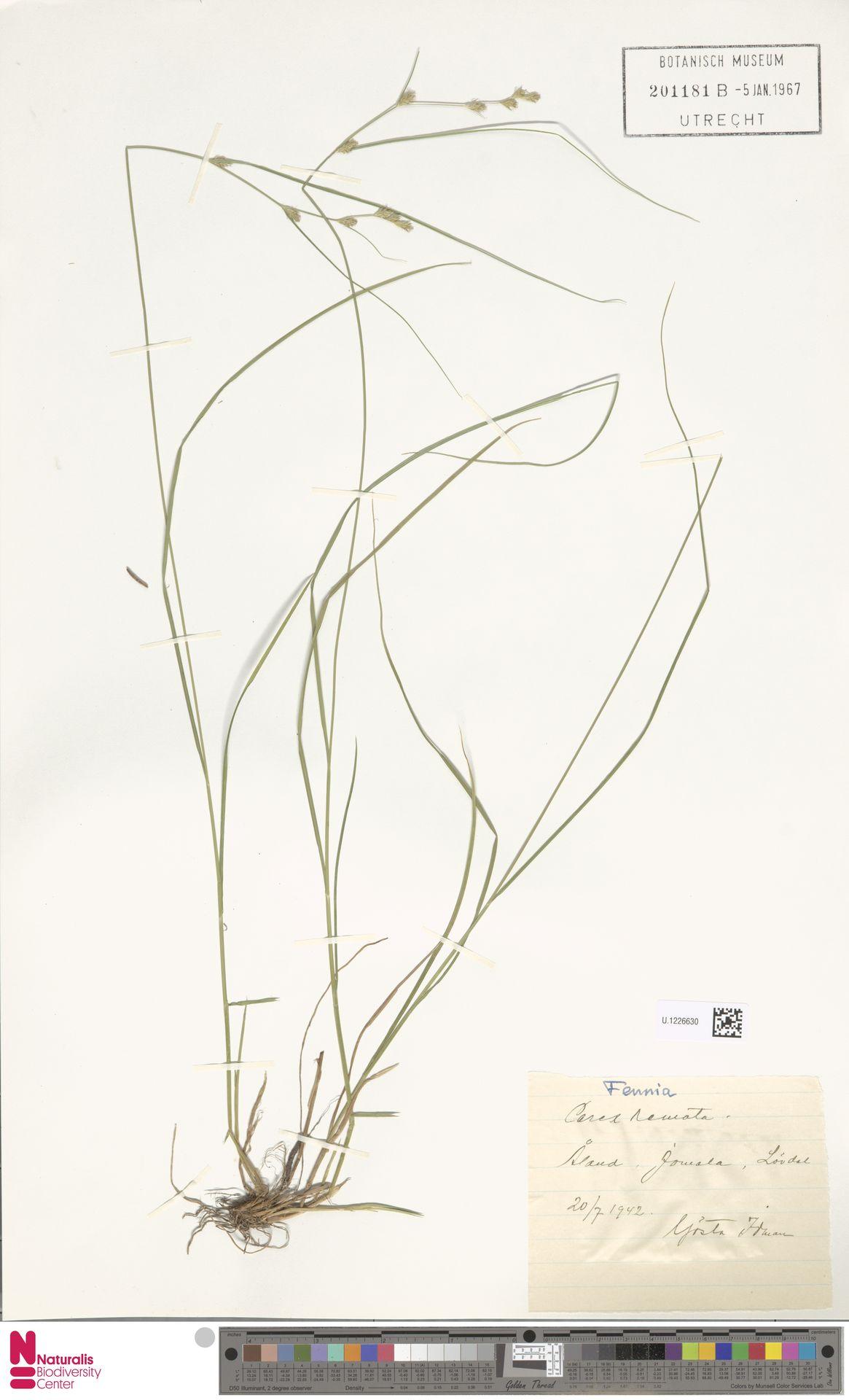 U.1226630 | Carex remota L.