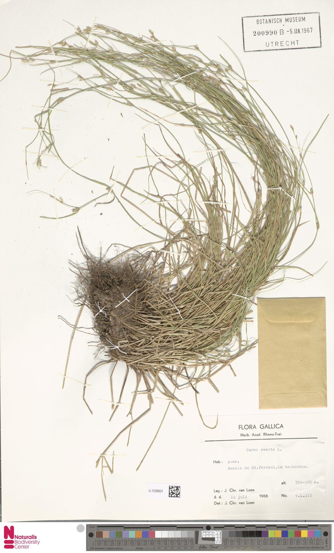 U.1226631 | Carex remota L.
