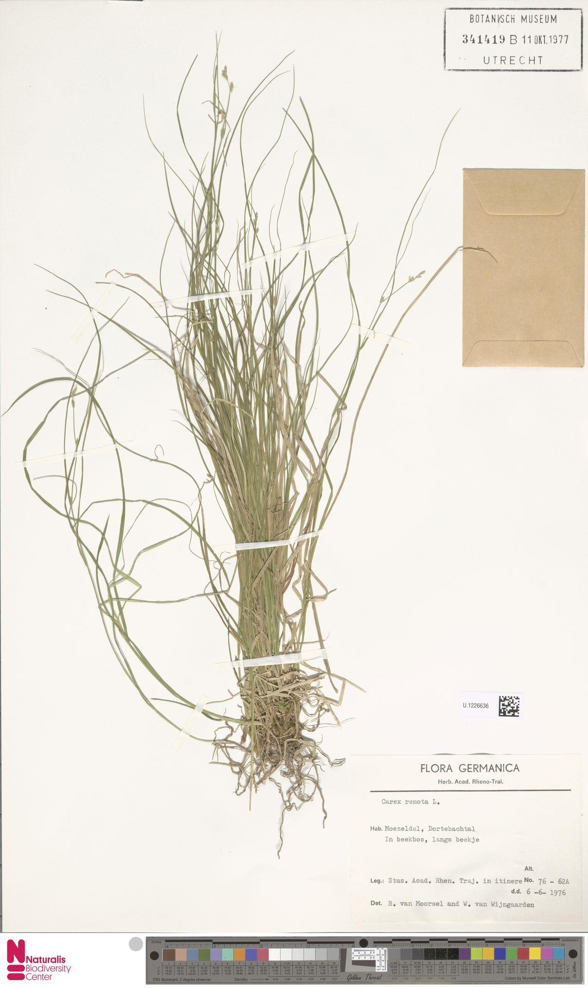 U.1226636 | Carex remota L.