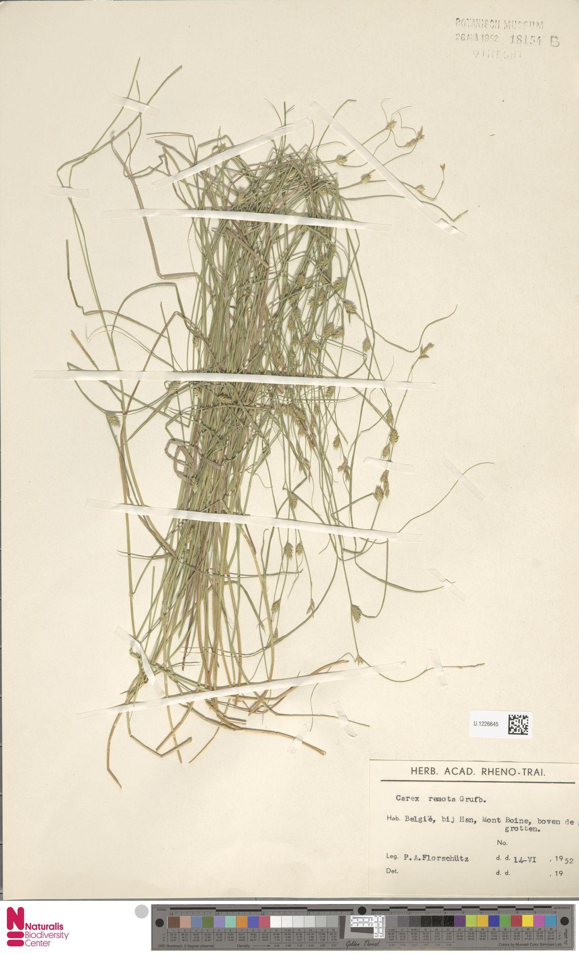 U.1226645 | Carex remota L.