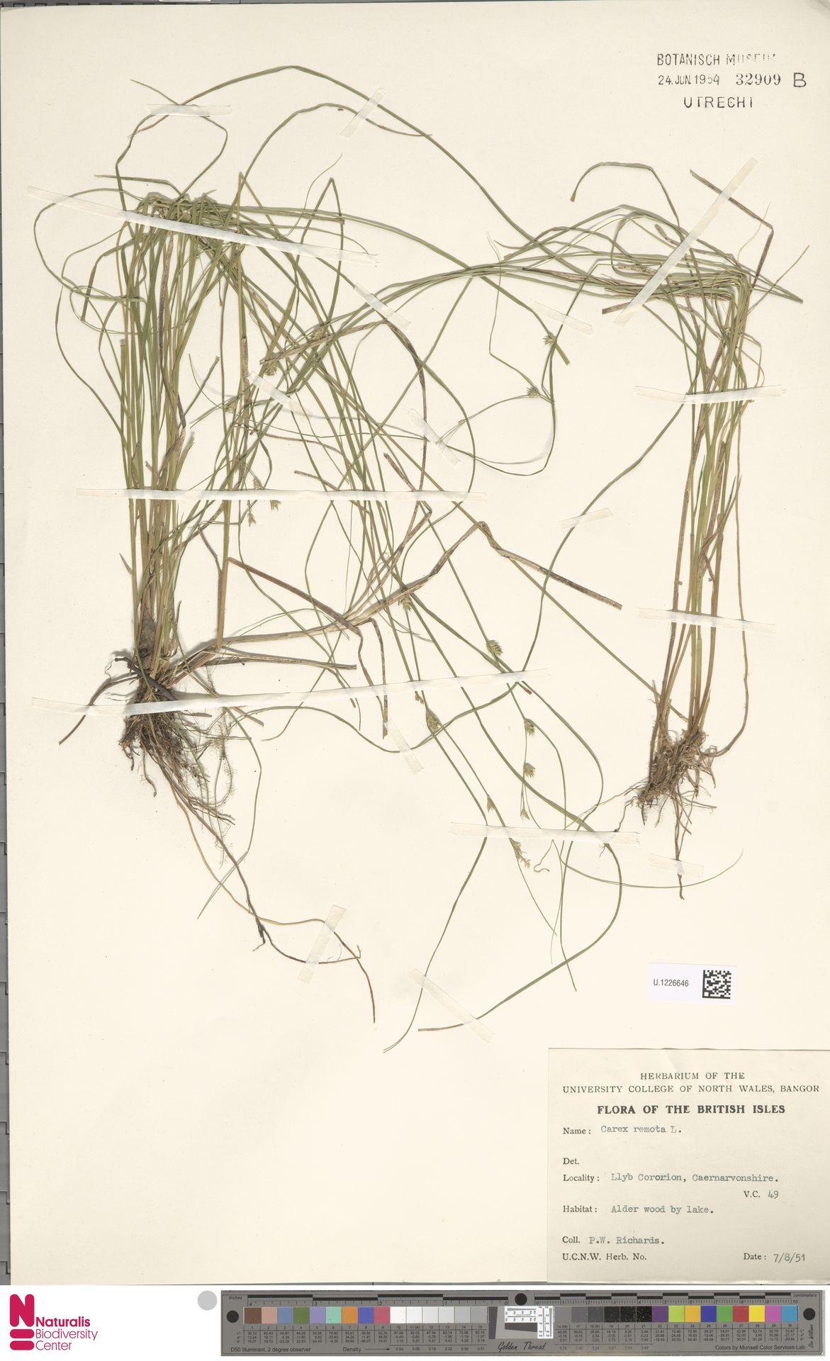U.1226646 | Carex remota L.