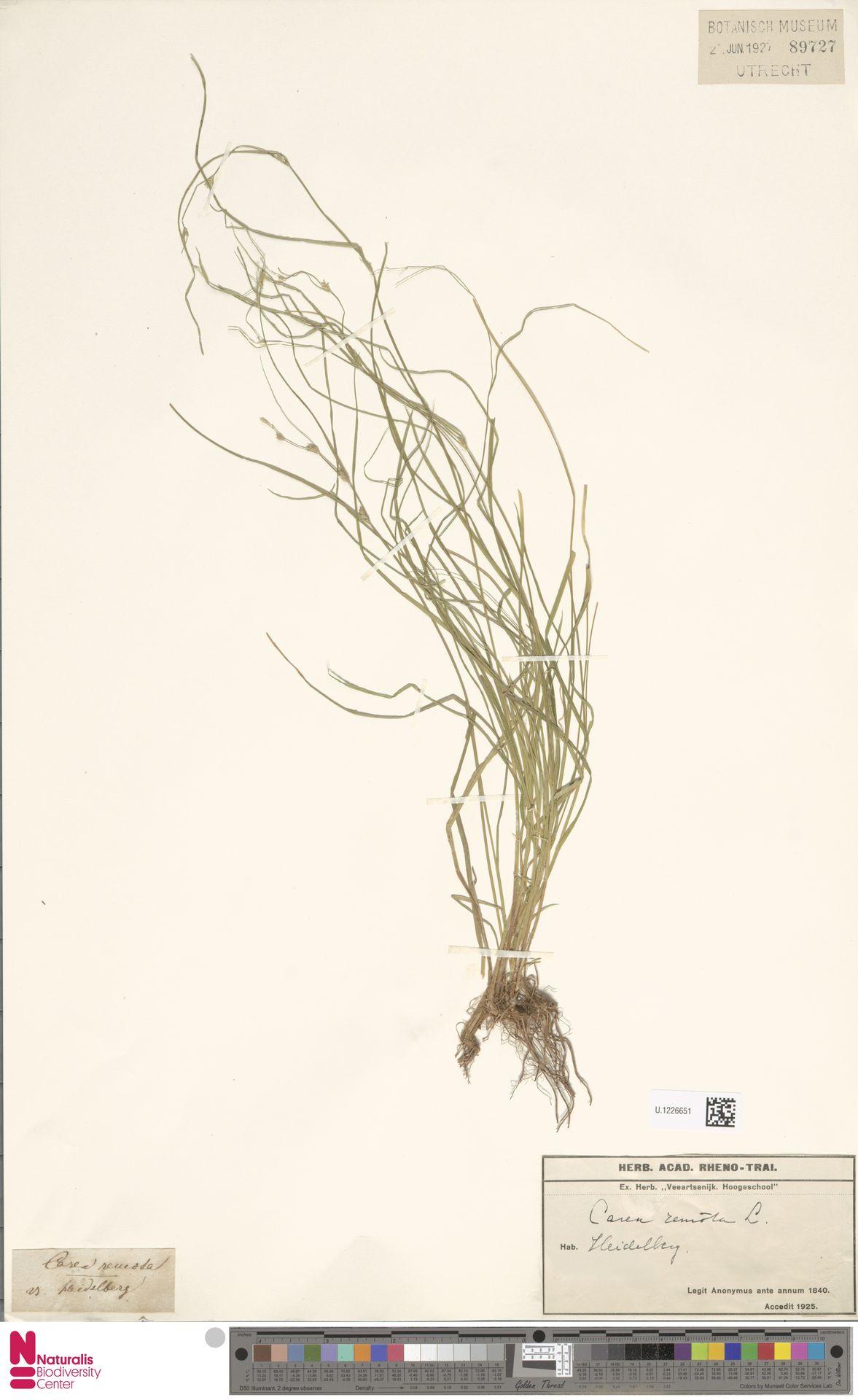 U.1226651 | Carex remota L.