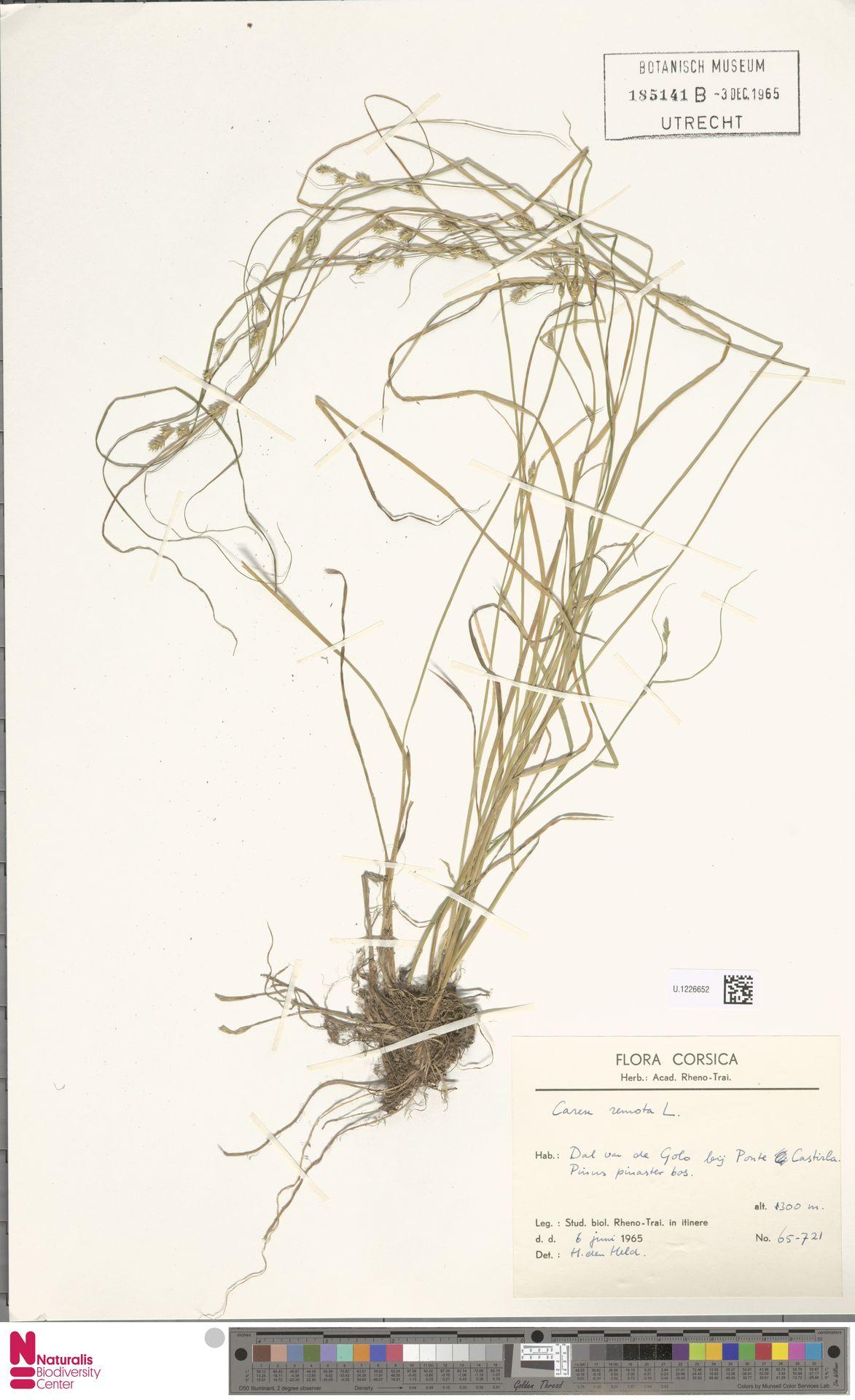 U.1226652 | Carex remota L.