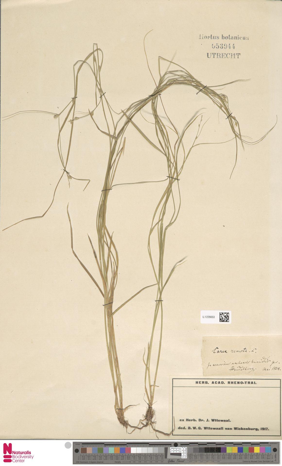 U.1226653 | Carex remota L.