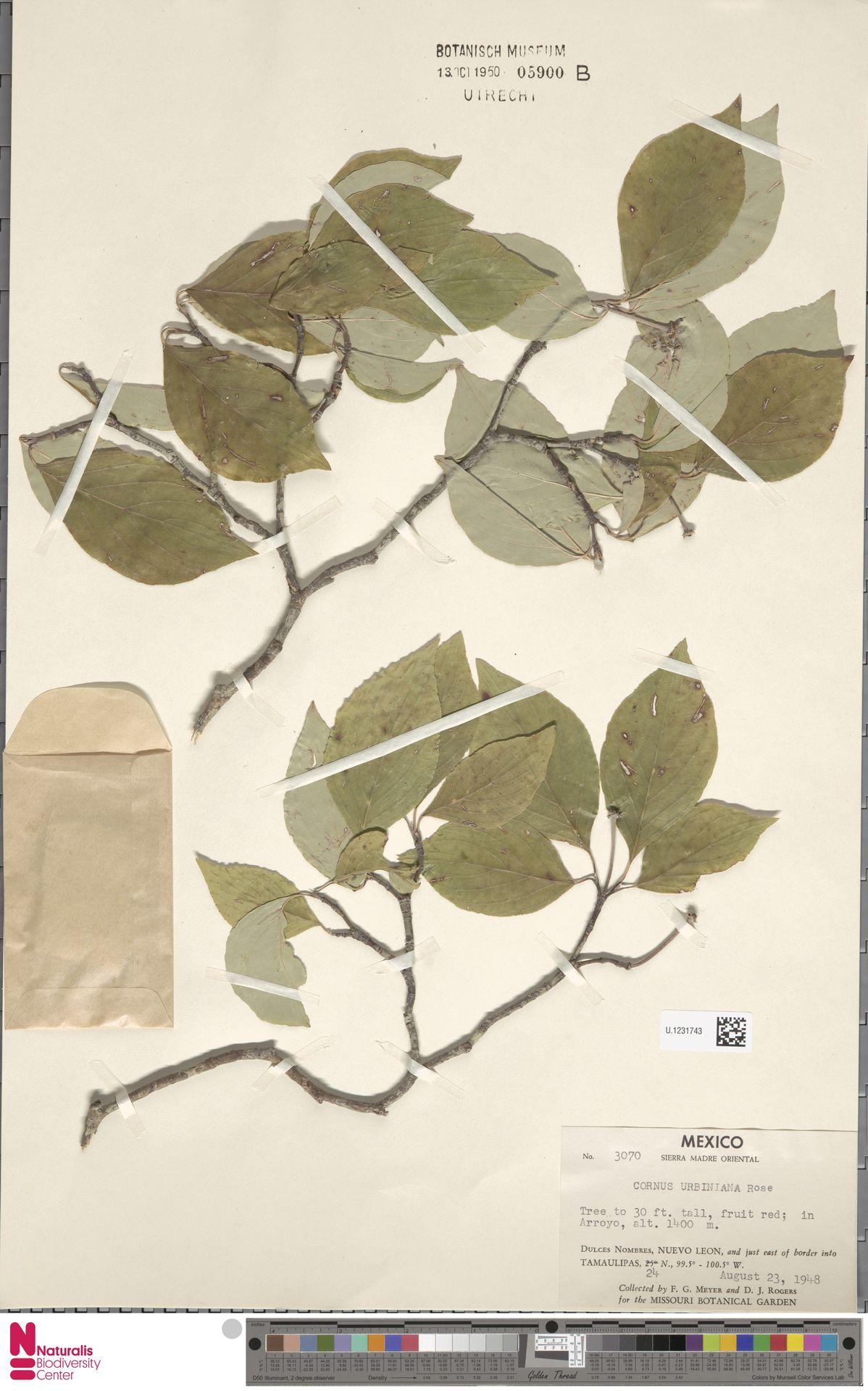 U.1231743 | Cornus urbiniana Rose