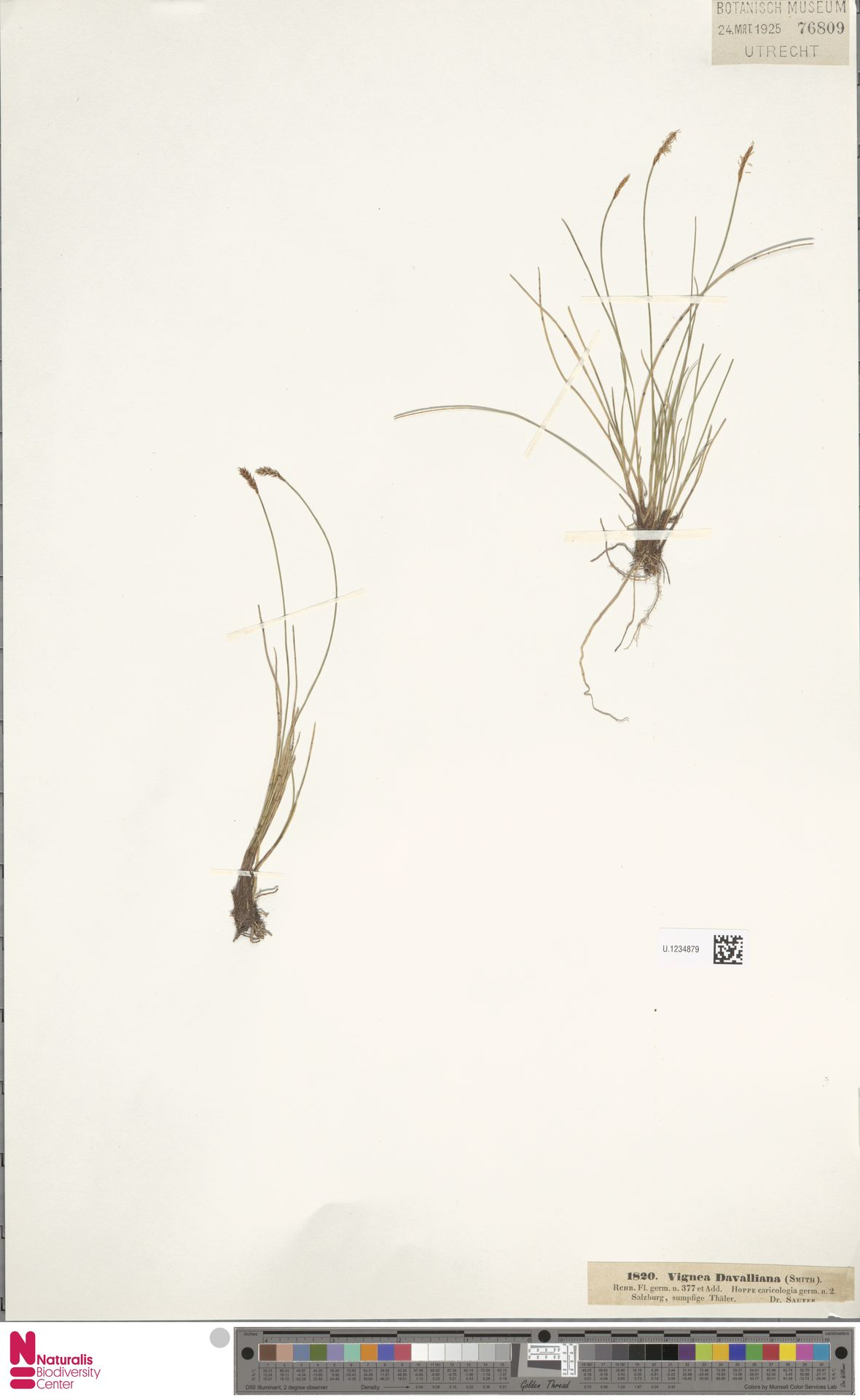 U.1234879 | Carex davalliana Sm.