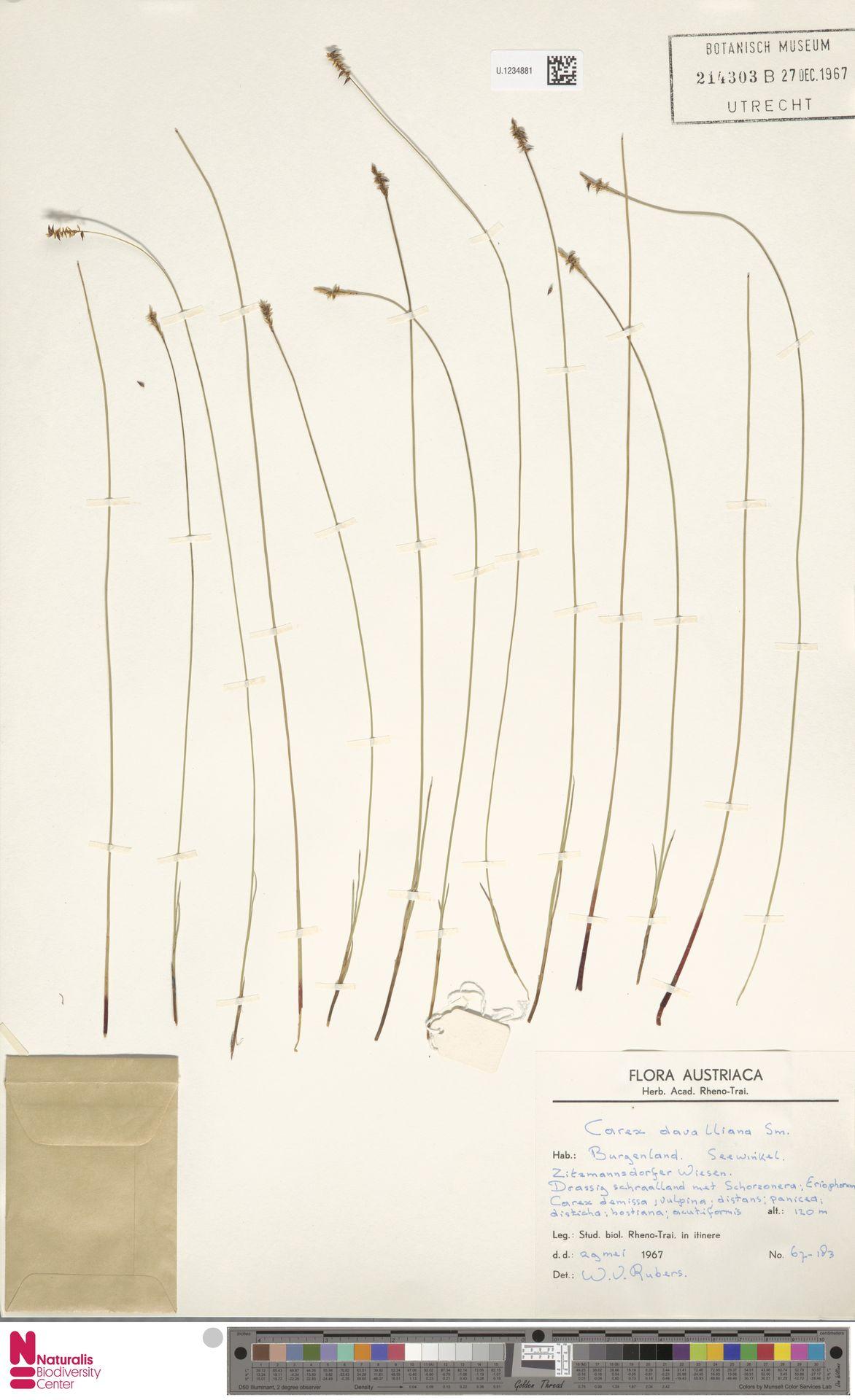 U.1234881 | Carex davalliana Sm.